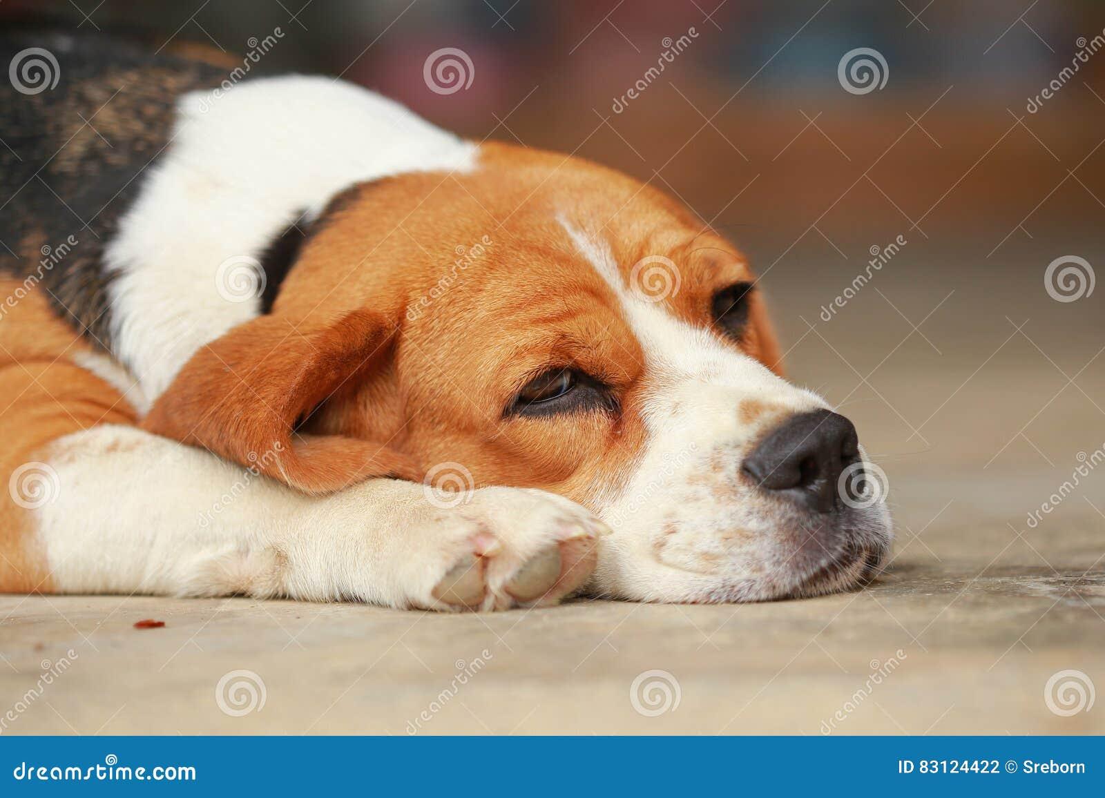 Der Schlafende Spürhundhund Und Machen Etwas Pause Stockfoto Bild