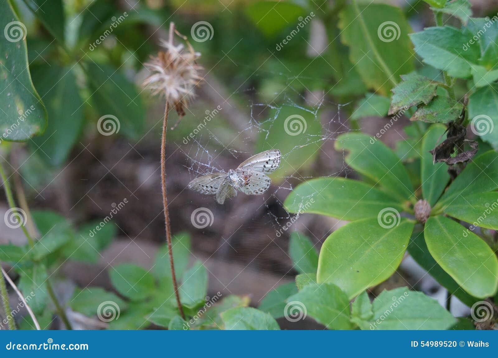 Der Schmetterling wird durch Spinnennetze verwickelt