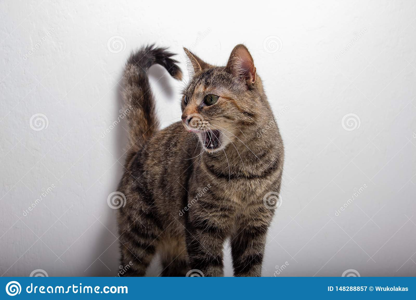 Gray tabby cat rips open her mouth