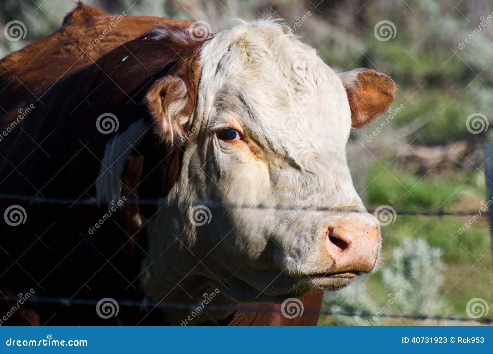 Der Stier und der böse Blick