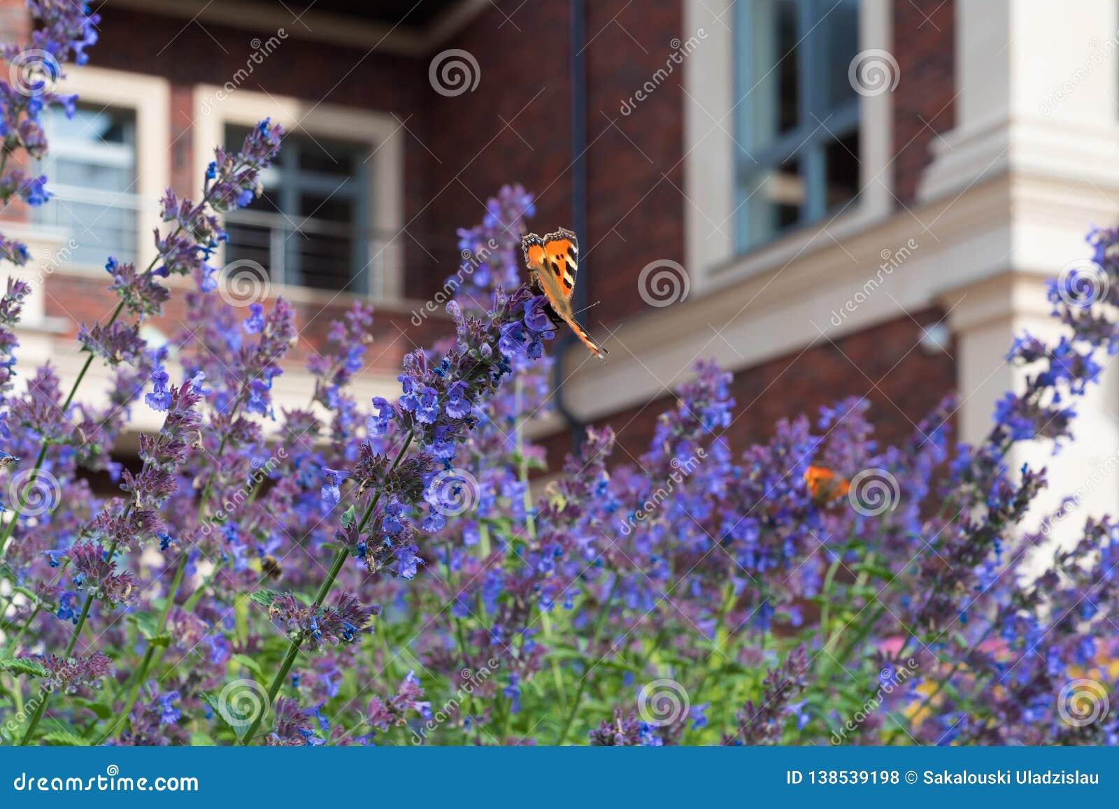 Der Urticaria-Schmetterling sitzt auf purpurrotem Blumen Nepeta Ð ¡ ataria gegen den unscharfen Hintergrund eines privaten Hauses