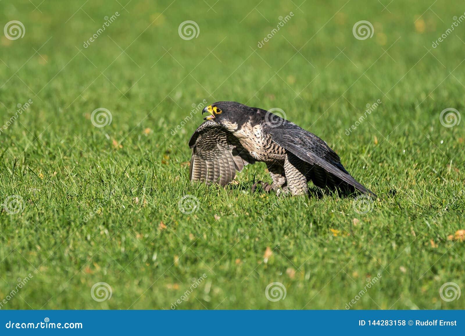 Der Wanderfalke, Falco-peregrinus Die schnellsten Tiere in der Welt