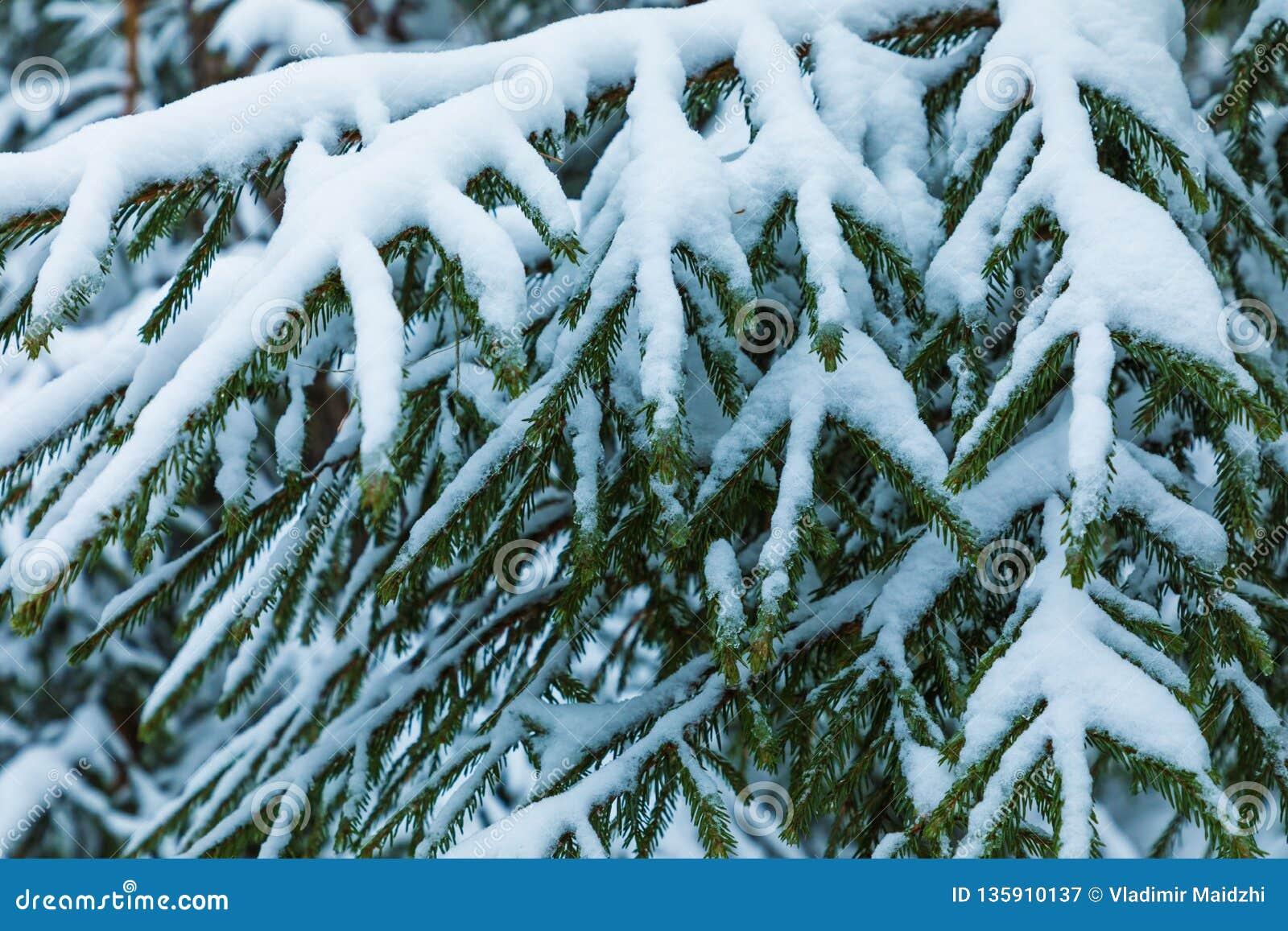 Der weiße und grüne schöne Winterhintergrund der Niederlassungen der Tanne oder des gezierten Baums unter dem Schnee und dem Hoar