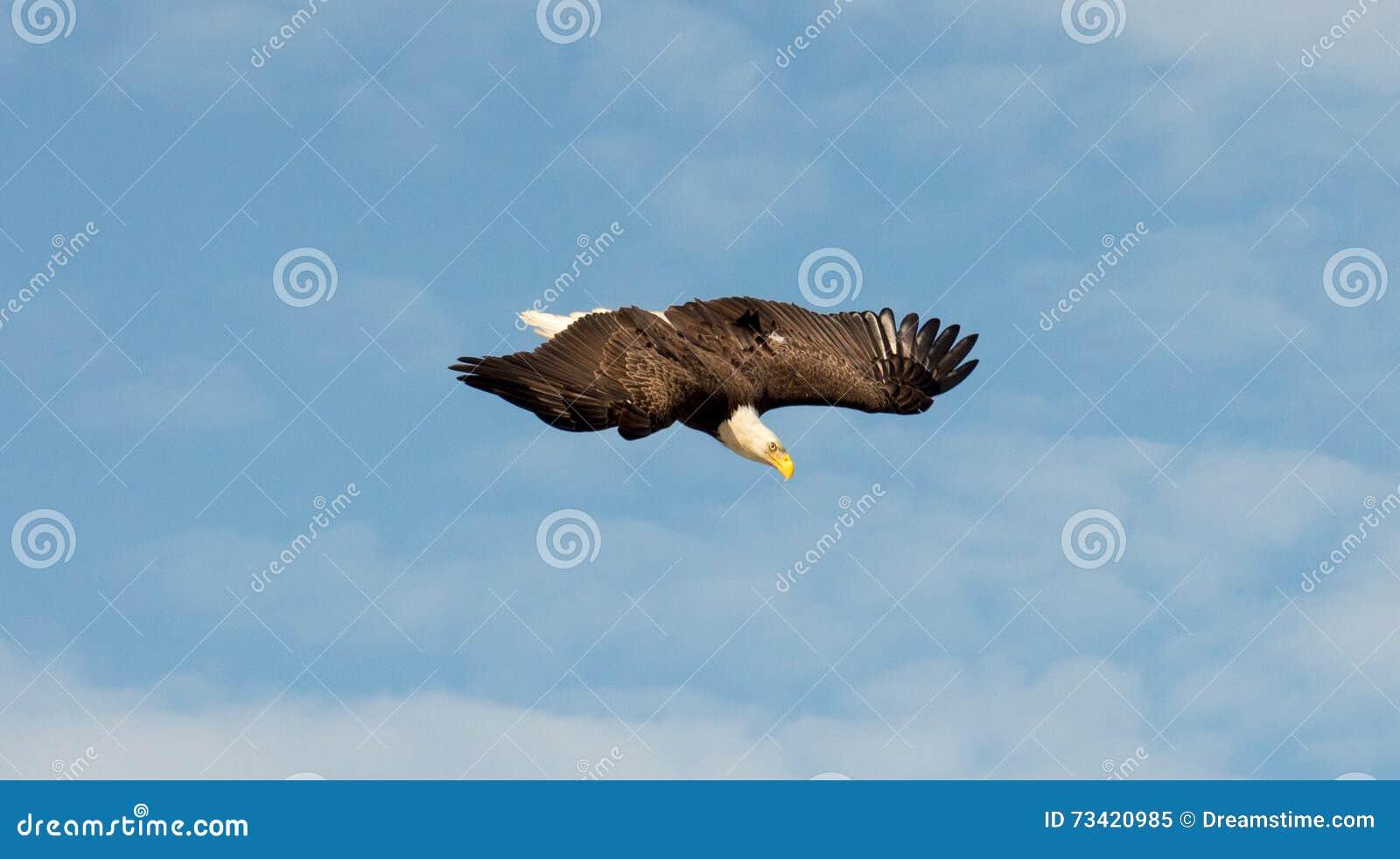 Der Weißkopfseeadler, der von oben aufpasst