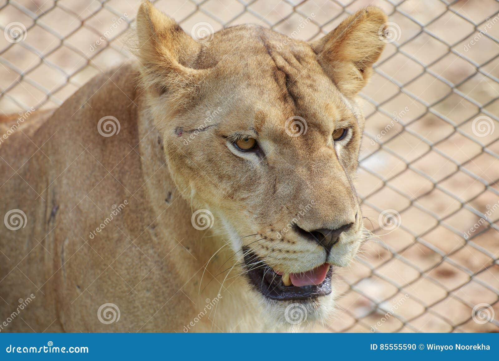 Der weibliche Löwe