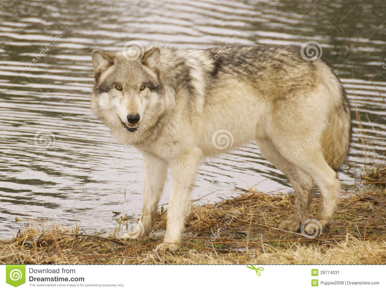 Roter Wolf