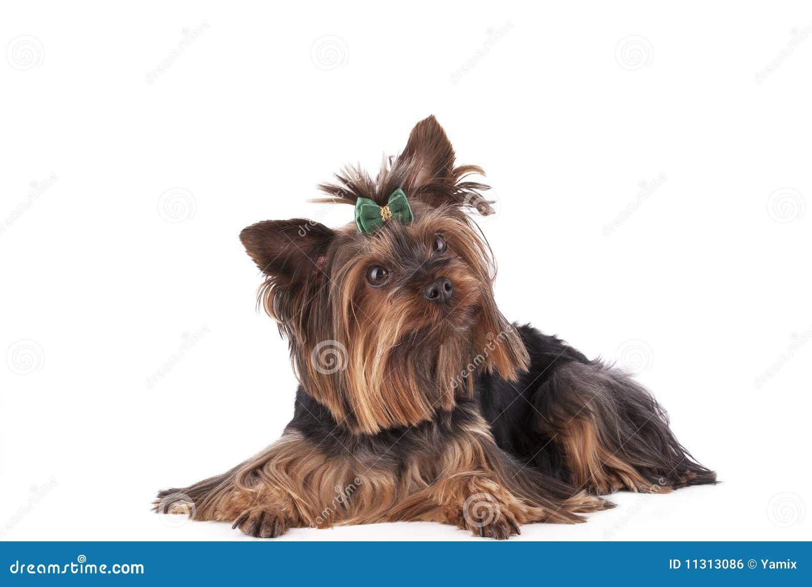 Der Welpe Yorkshire-Terrier