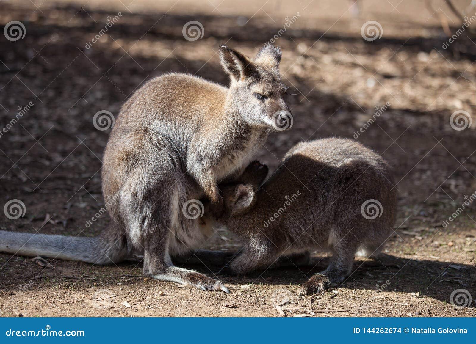Der wilde famale K?nguru, der ihr joey vom Beutel einzieht australien