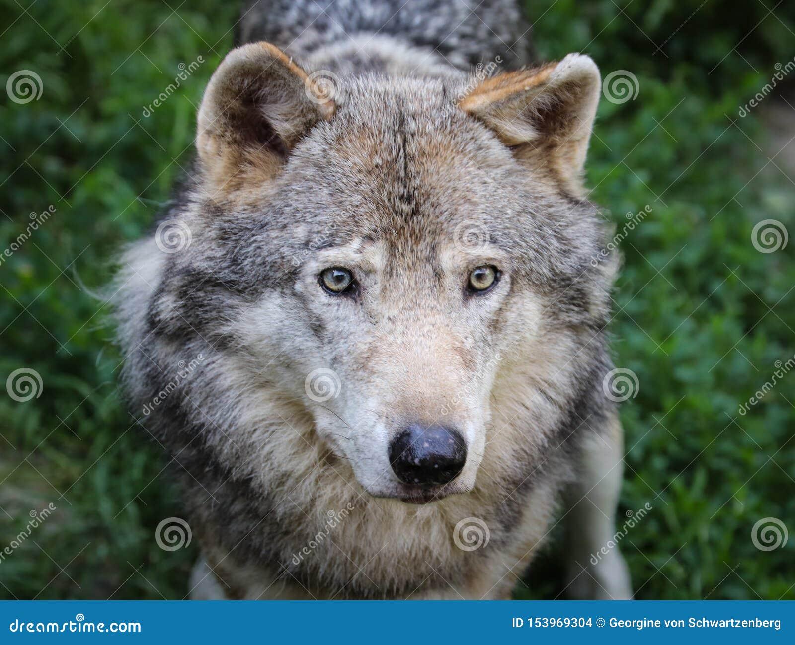 Der Wolf Canis Lupus-, alias Grauer/Grauewolf, der Timberwolf oder der Tundrawolf