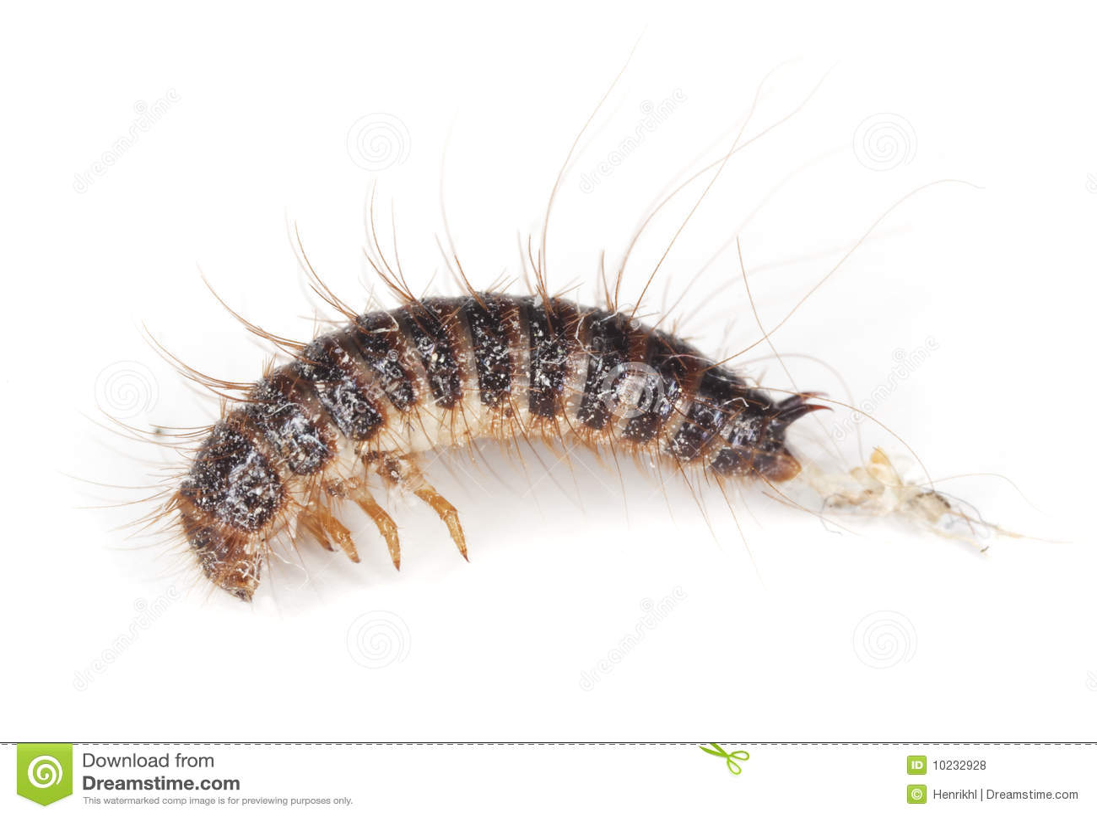 Dermestid Beetle Larvae. Royalty Free Stock Photos - Image ...