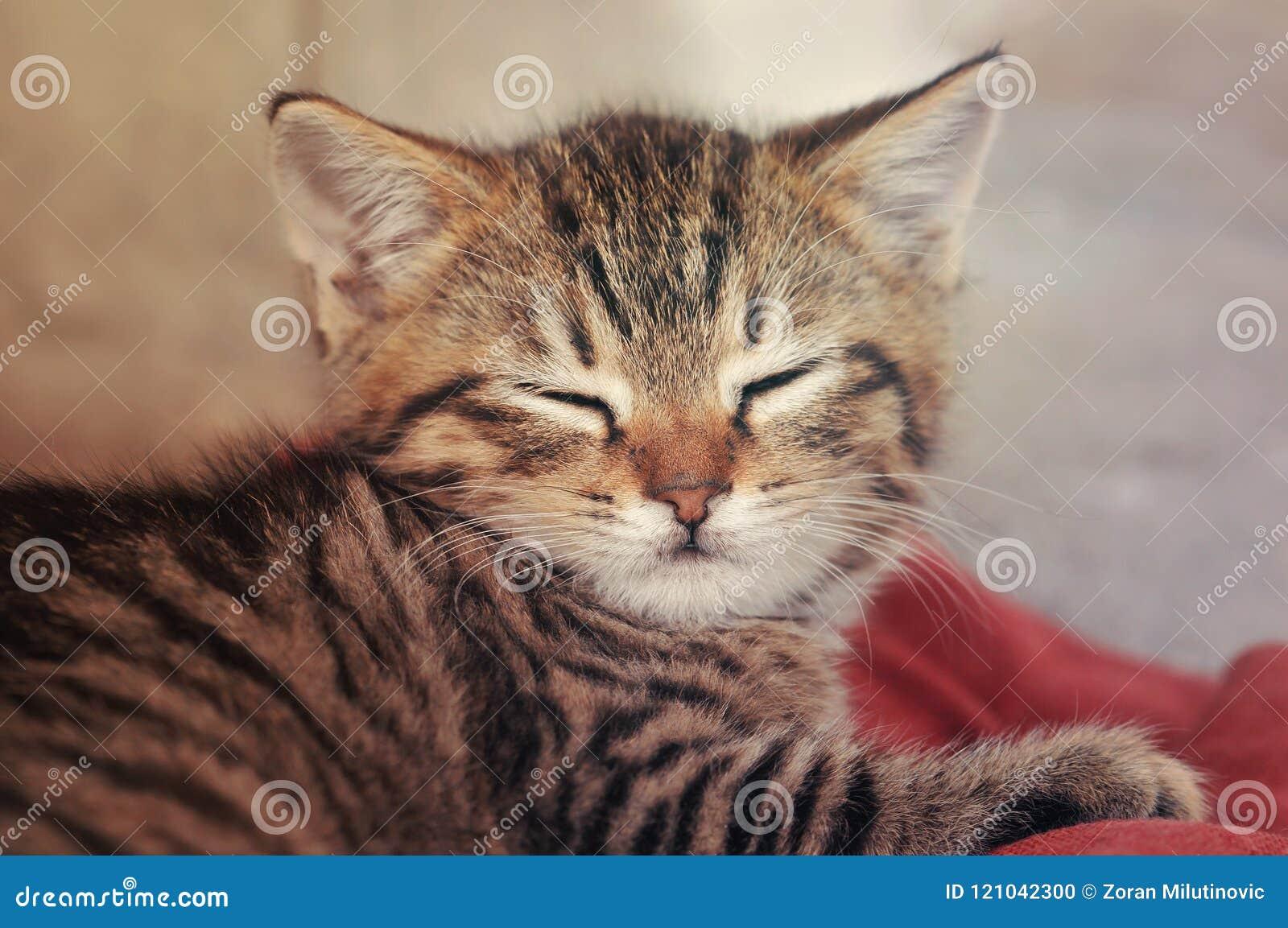 Derribo del gatito del gato atigrado soñoliento