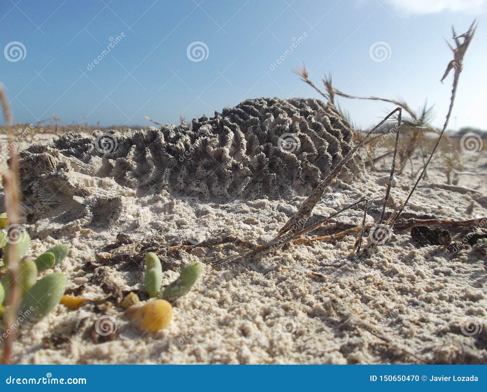 Des coraux sont gonflés pour échapper à être vivants enterré dans le sable