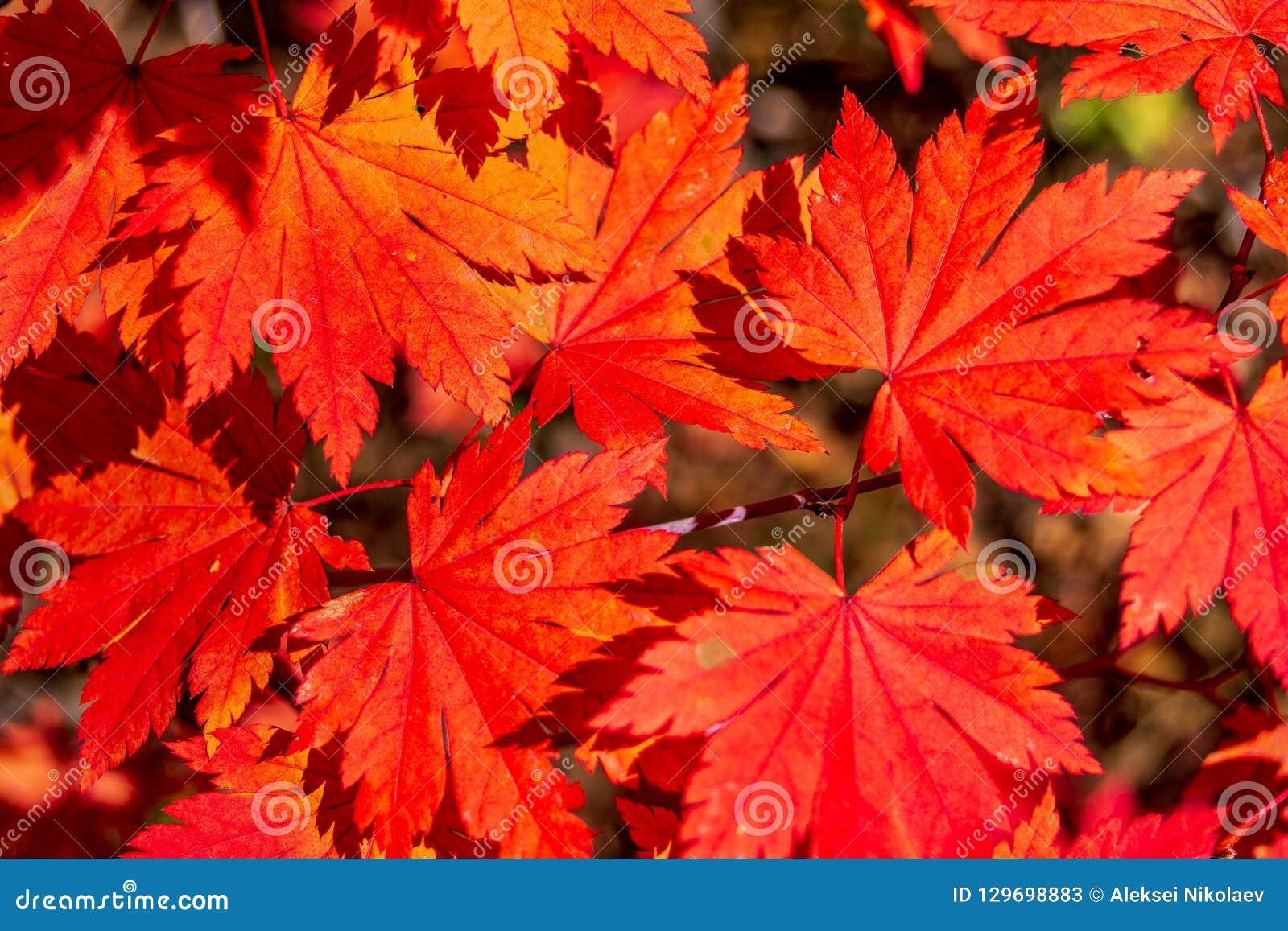 Des feuilles d automne jaunes et rouges