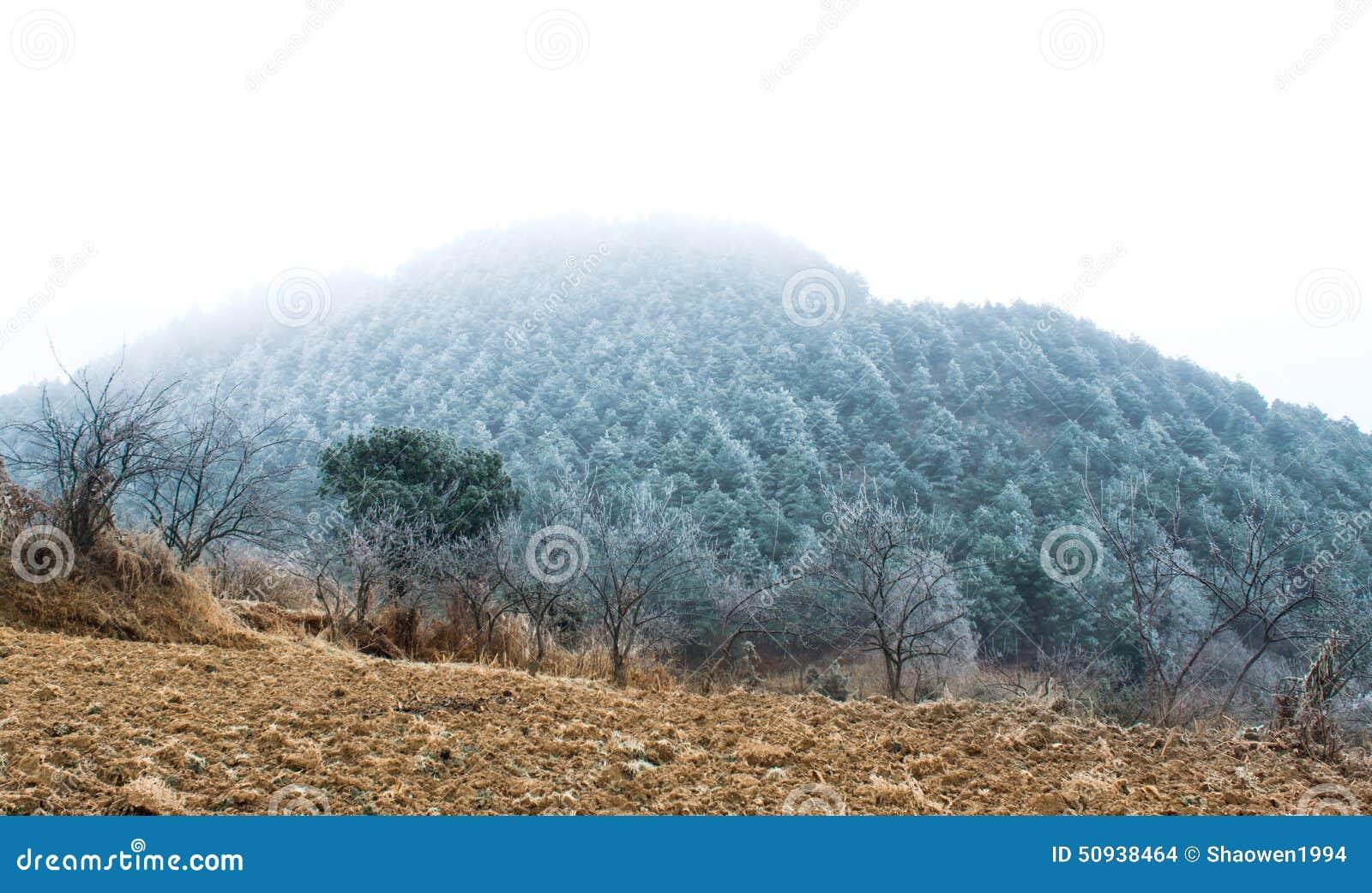 Des pins ont été enveloppés en brouillard