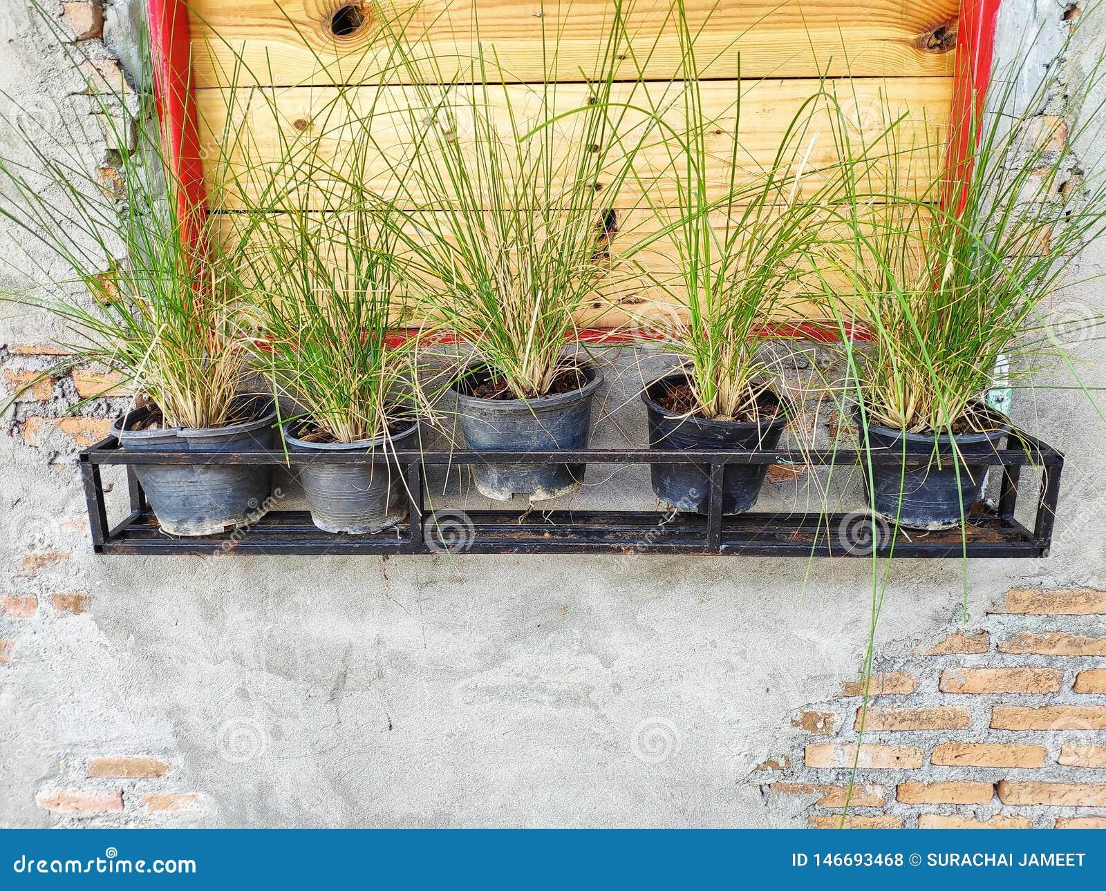 Des pots d usine sont placés dans une rangée près de la fenêtre, avec le mur de brique et de ciment