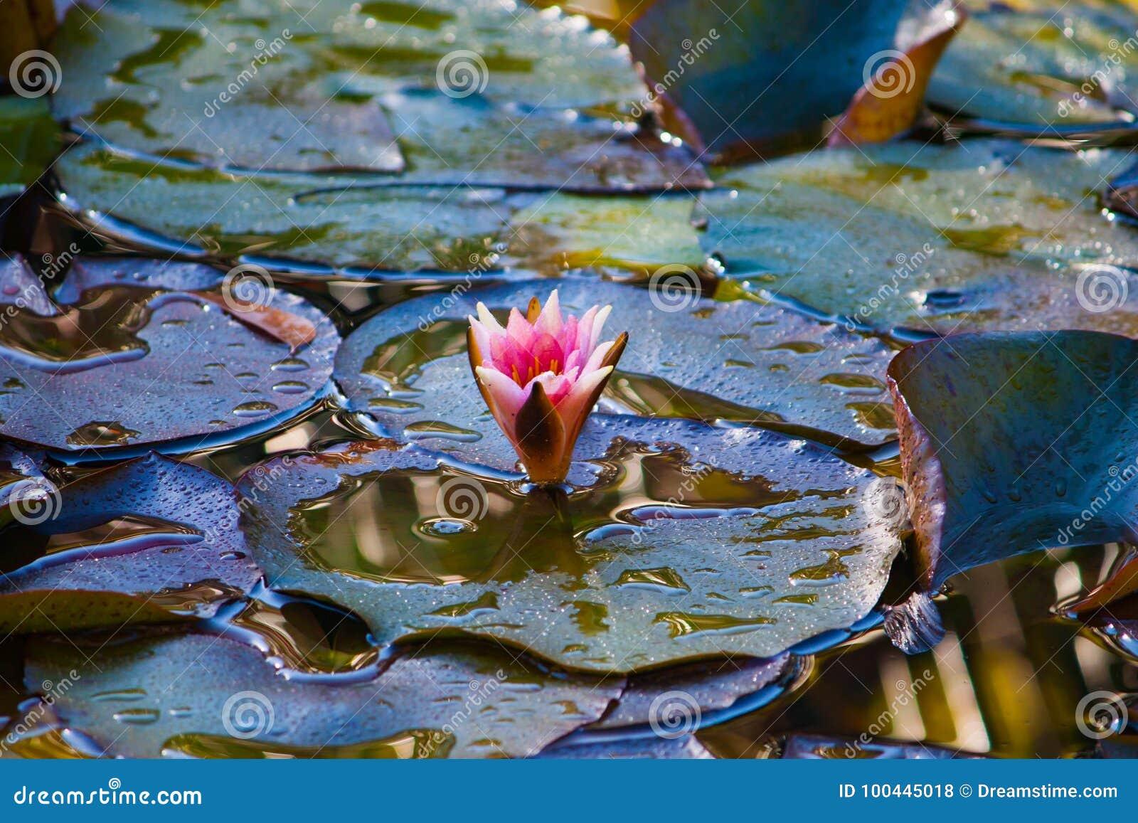 Des Wassers Blume lilly
