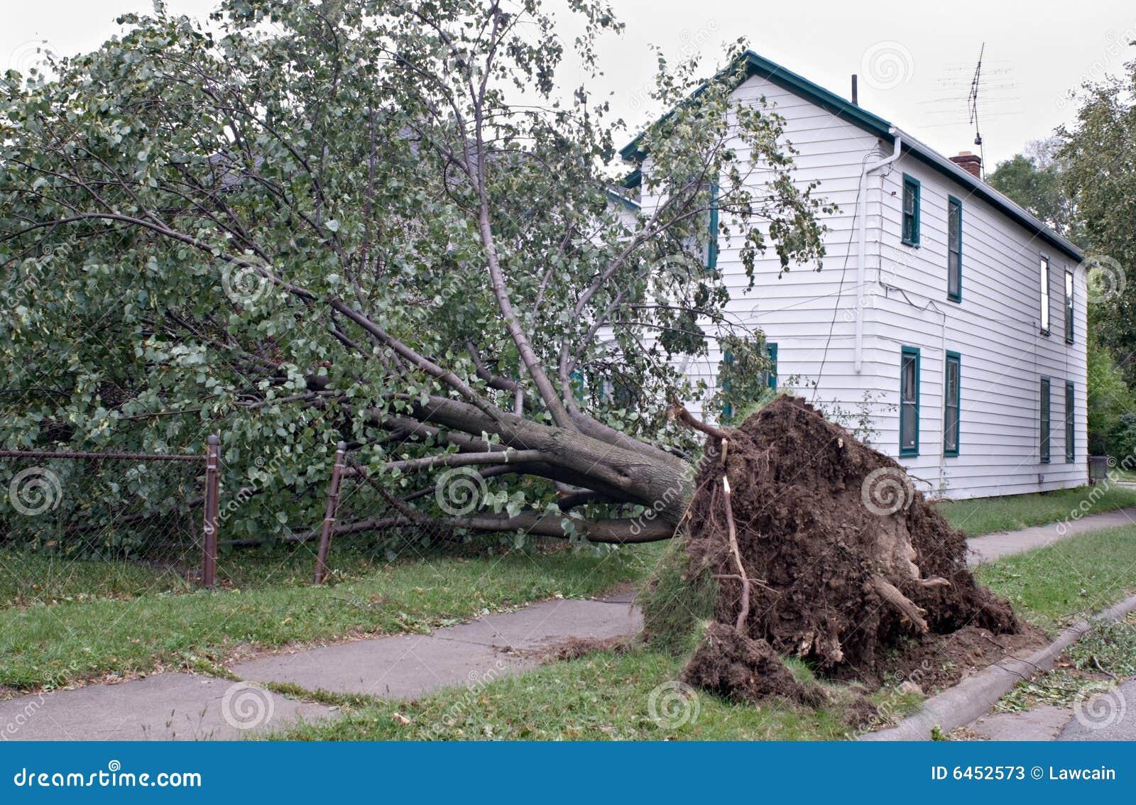 Desarraigado después de tormenta