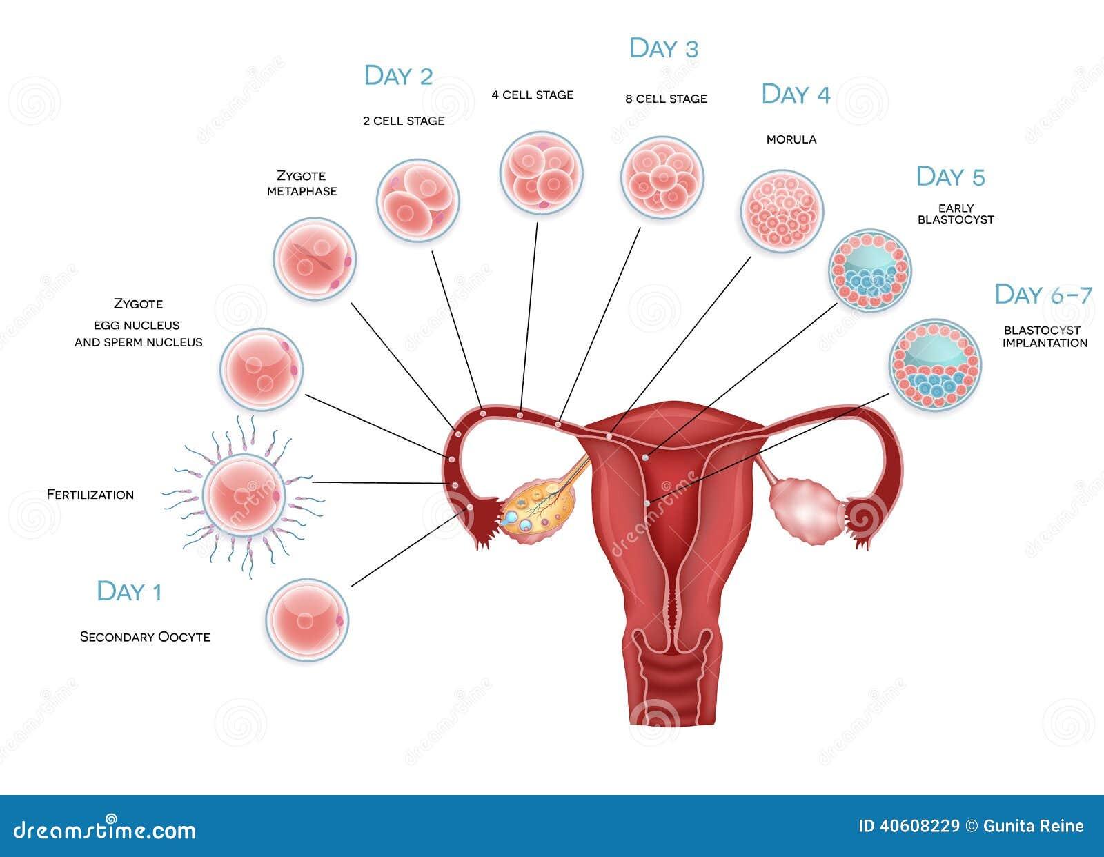 Desarrollo del embrión