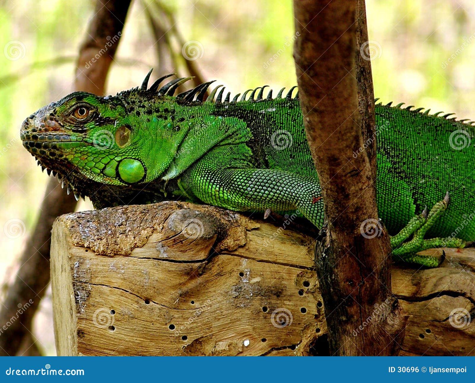 Descanso da iguana