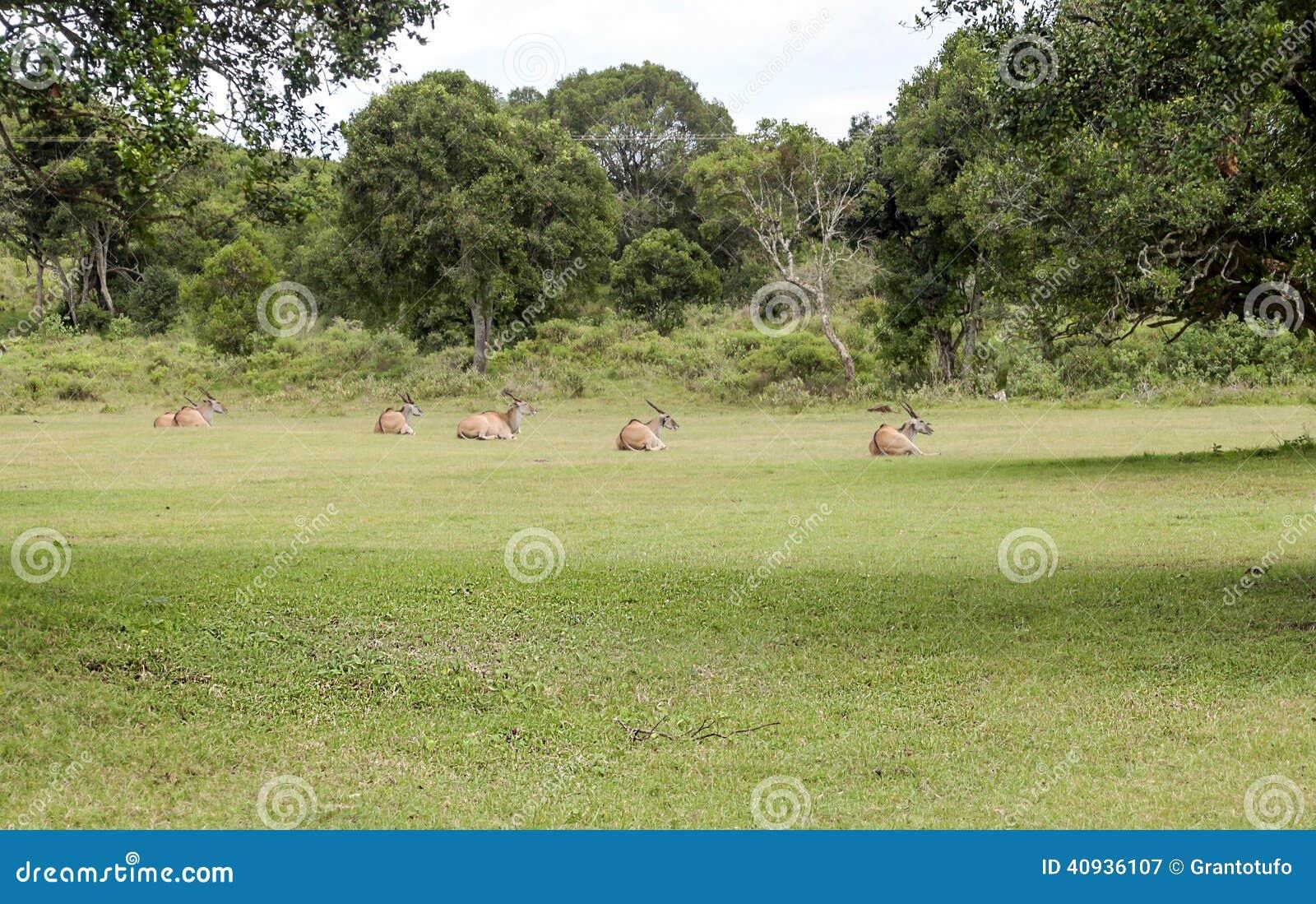 Descanso das gazelas