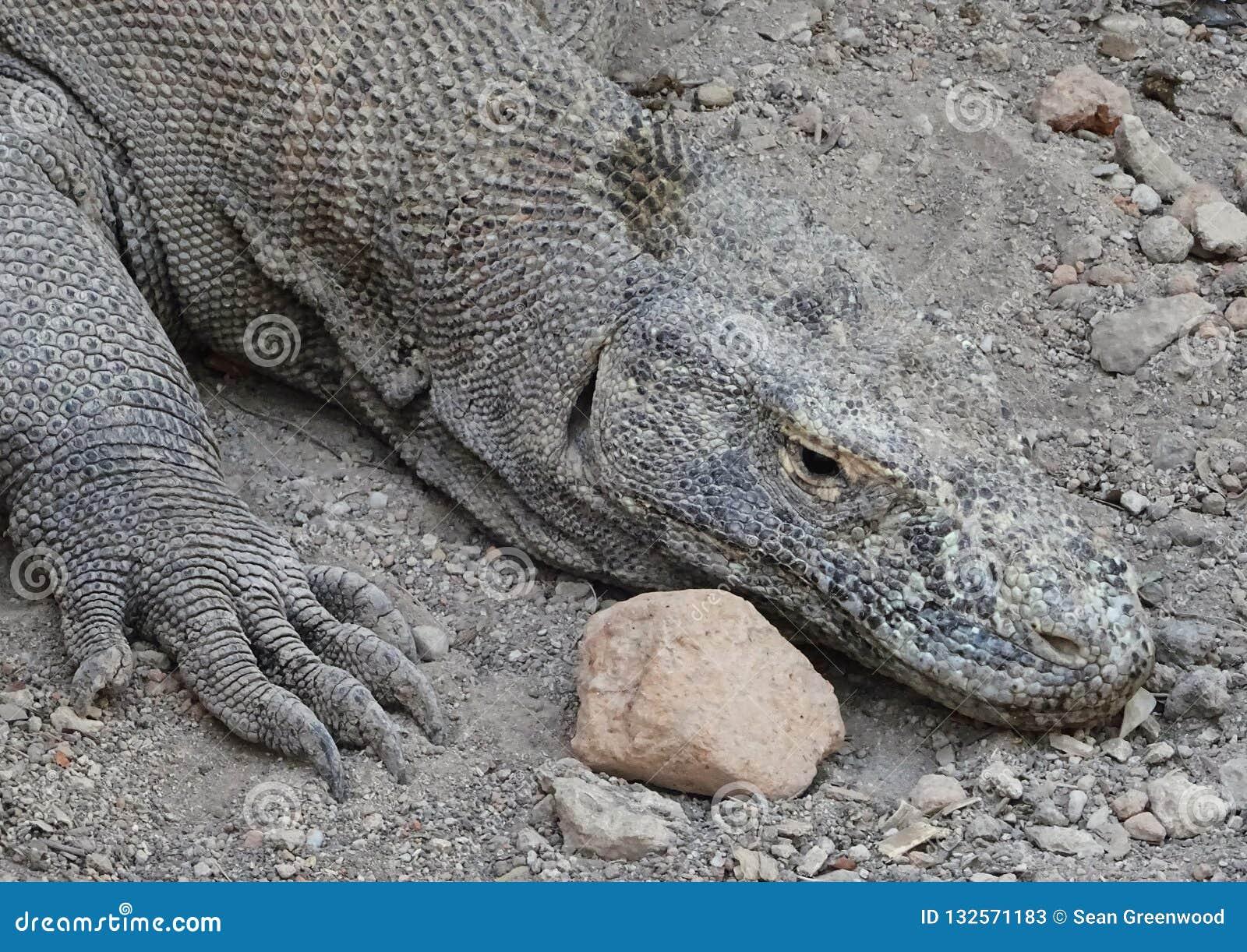 Descanso do dragão de Komodo