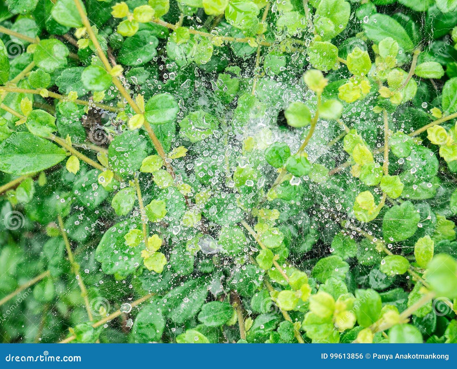 Descensos de rocío en el spiderweb