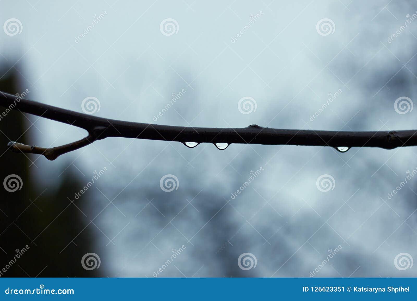 Descensos del agua en la rama del árbol en el día lluvioso, macro
