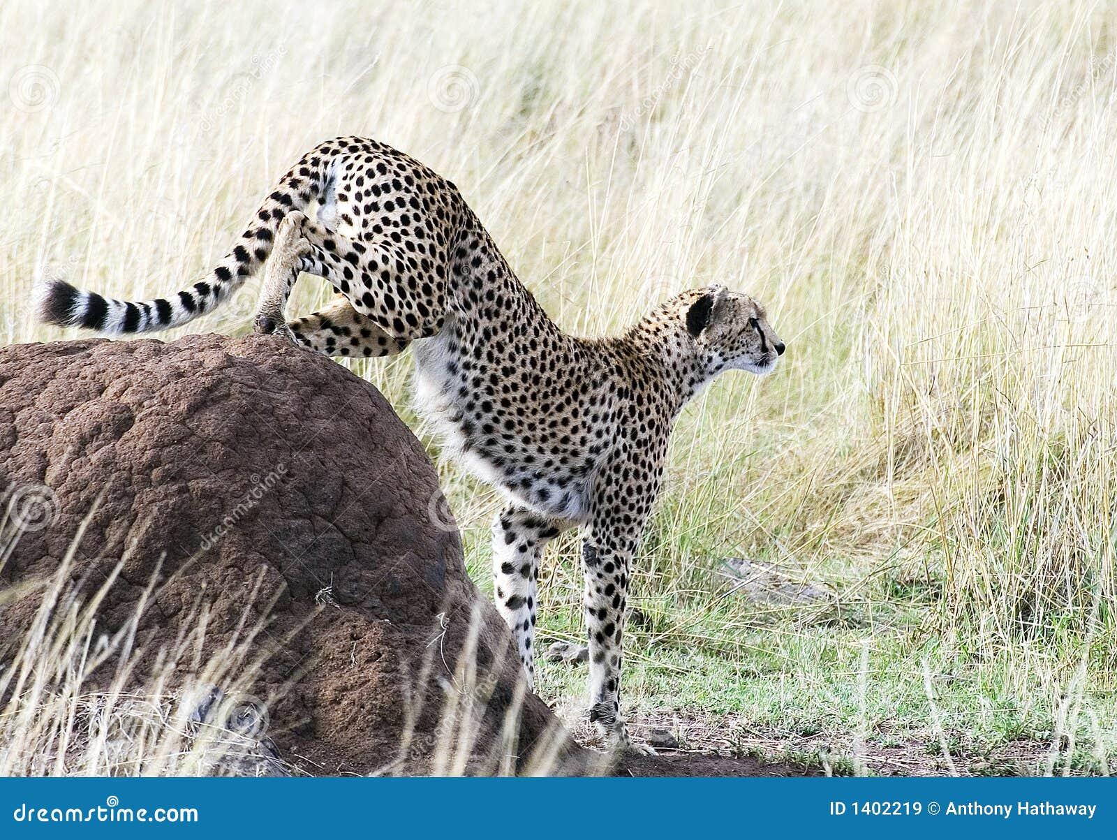 Descente de guépard