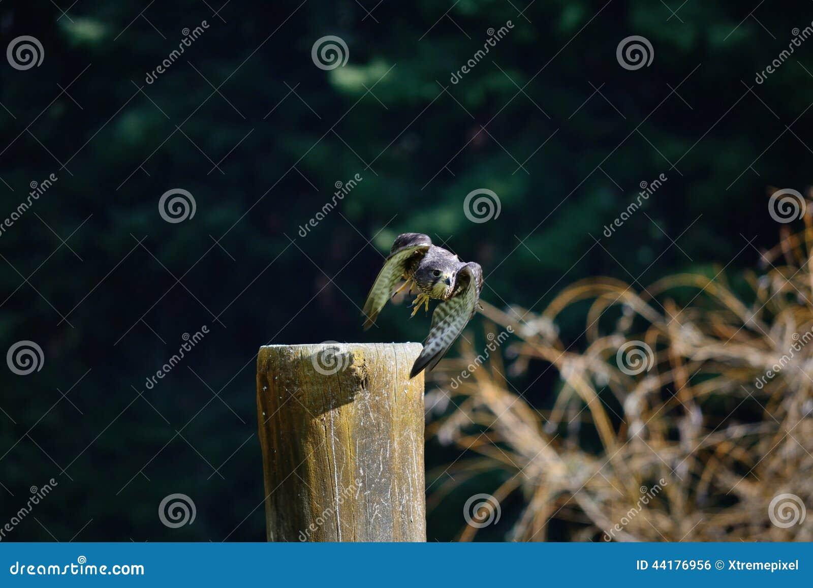 Descolagem do falcão