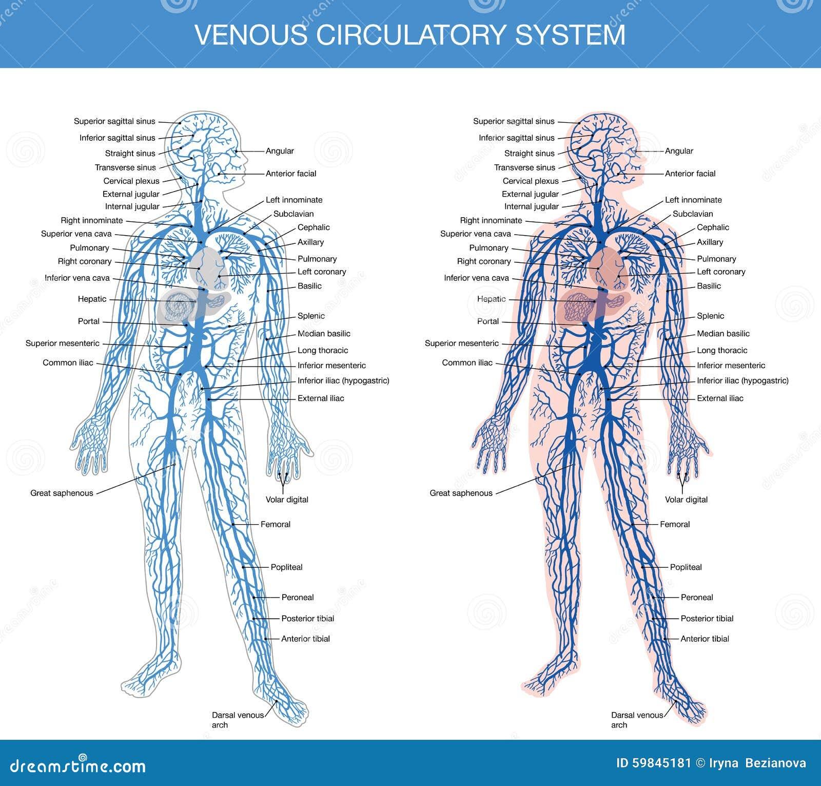 Excepcional Miembro Superior Diagrama Anatomía Venosa Colección ...