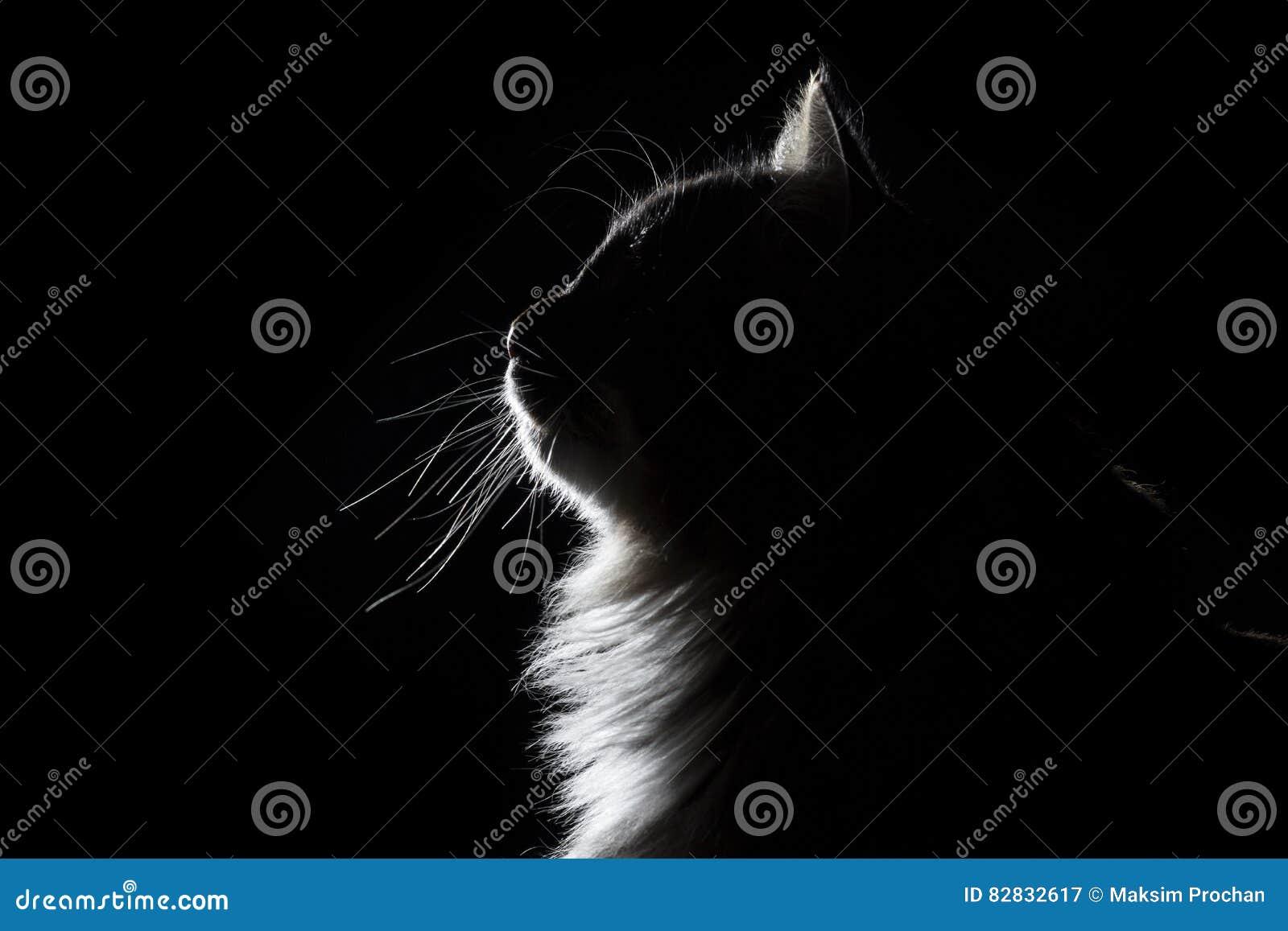 Descriva il ritratto della siluetta di bello gatto lanuginoso su un fondo nero