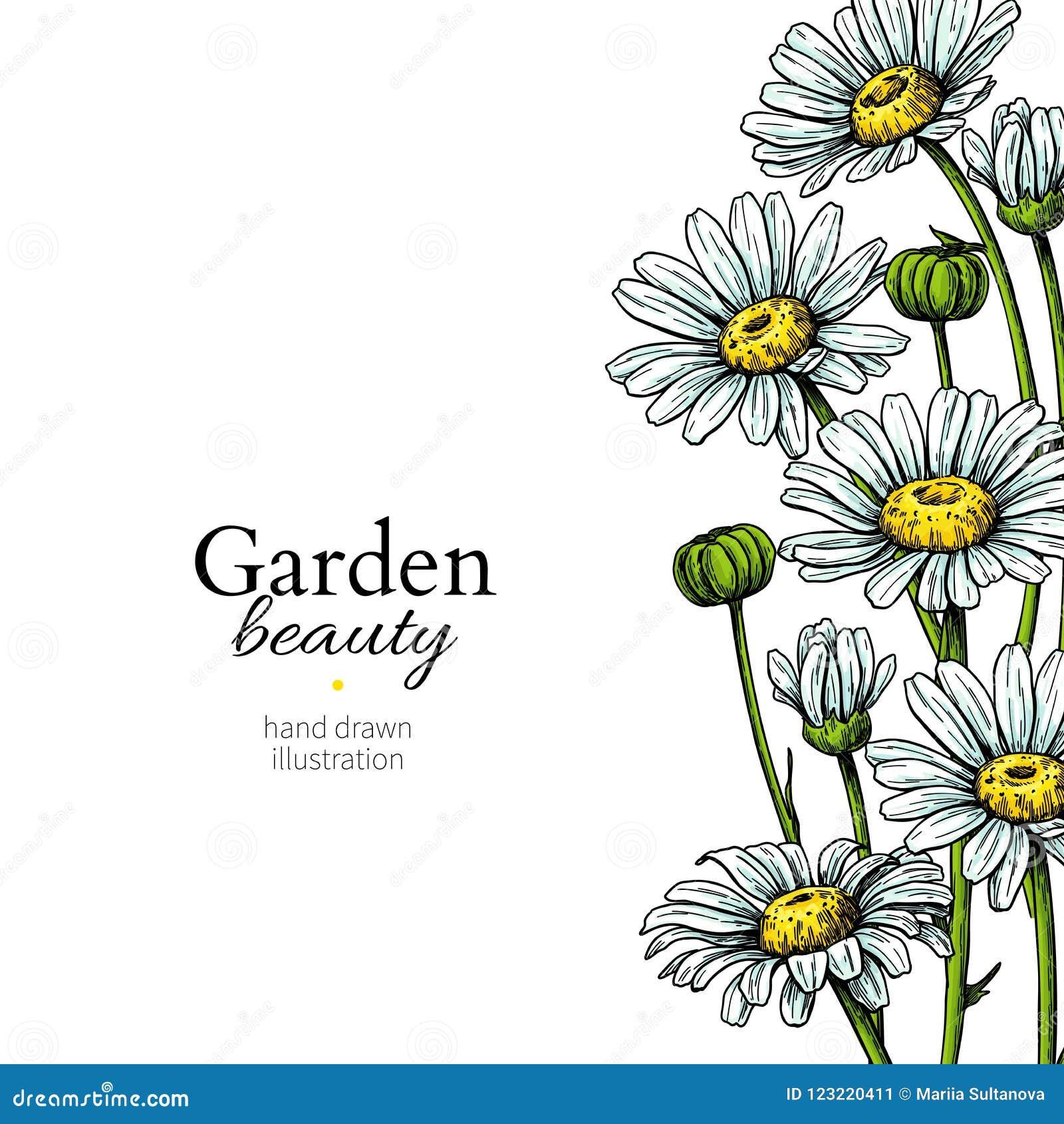 Desenho Da Beira Da Flor Da Margarida Quadro Floral Tirado Mao Do