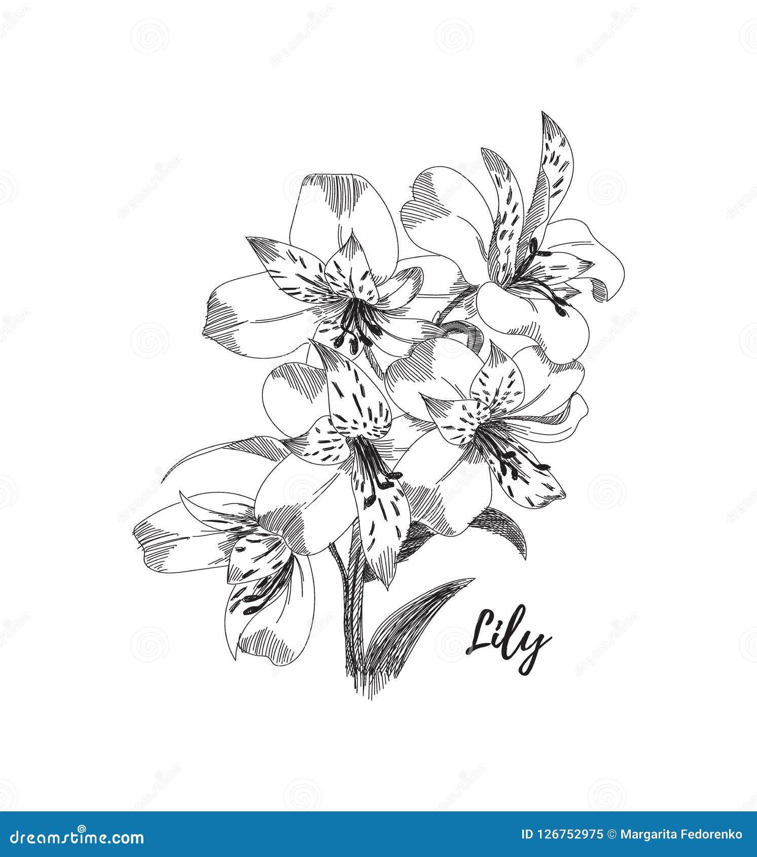 Desenho Da Flor Do Lírio Linha Preto E Branco Ilustração Do