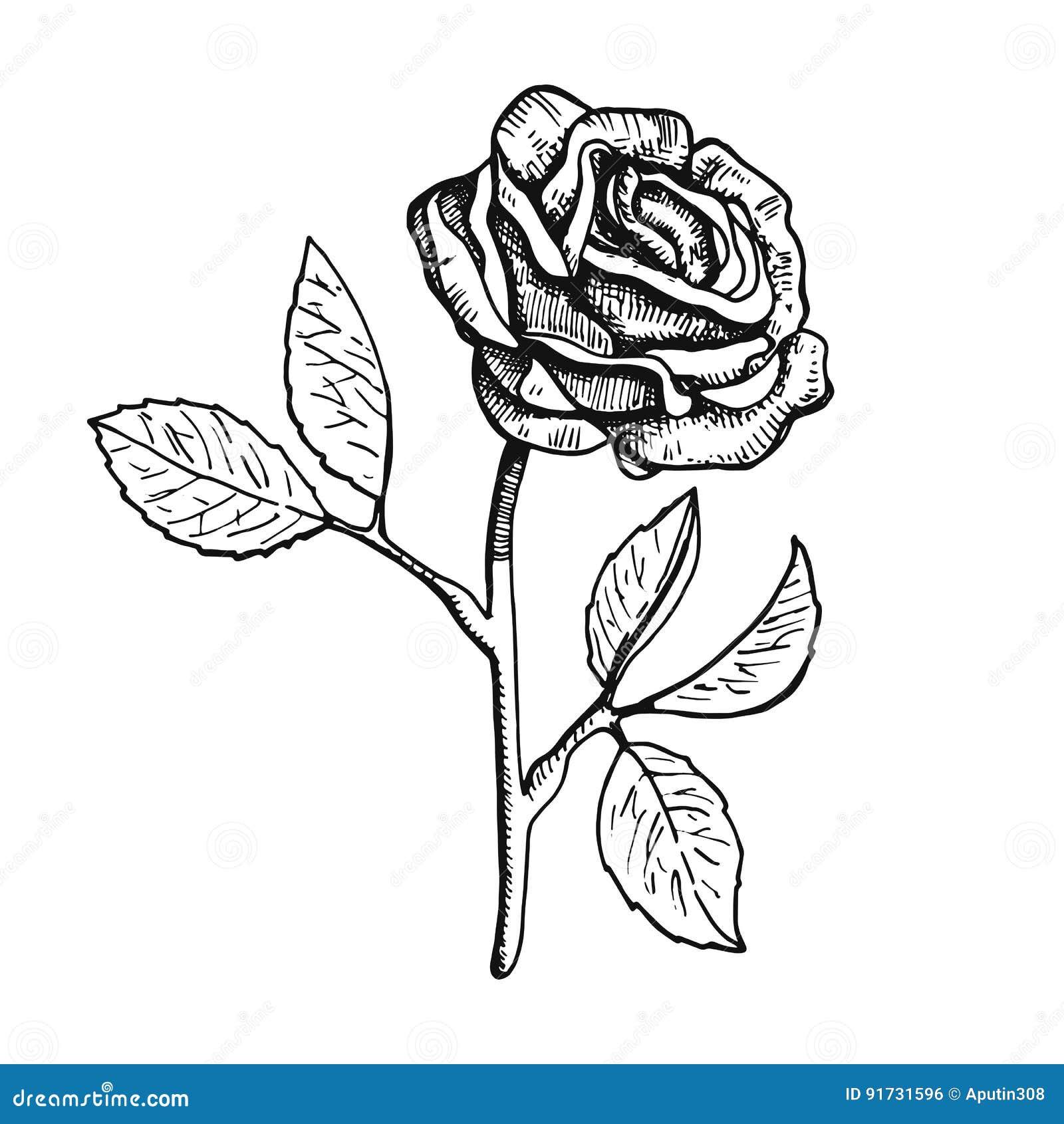 desenho da mão da ilustração do vetor da flor de rosa ilustração do