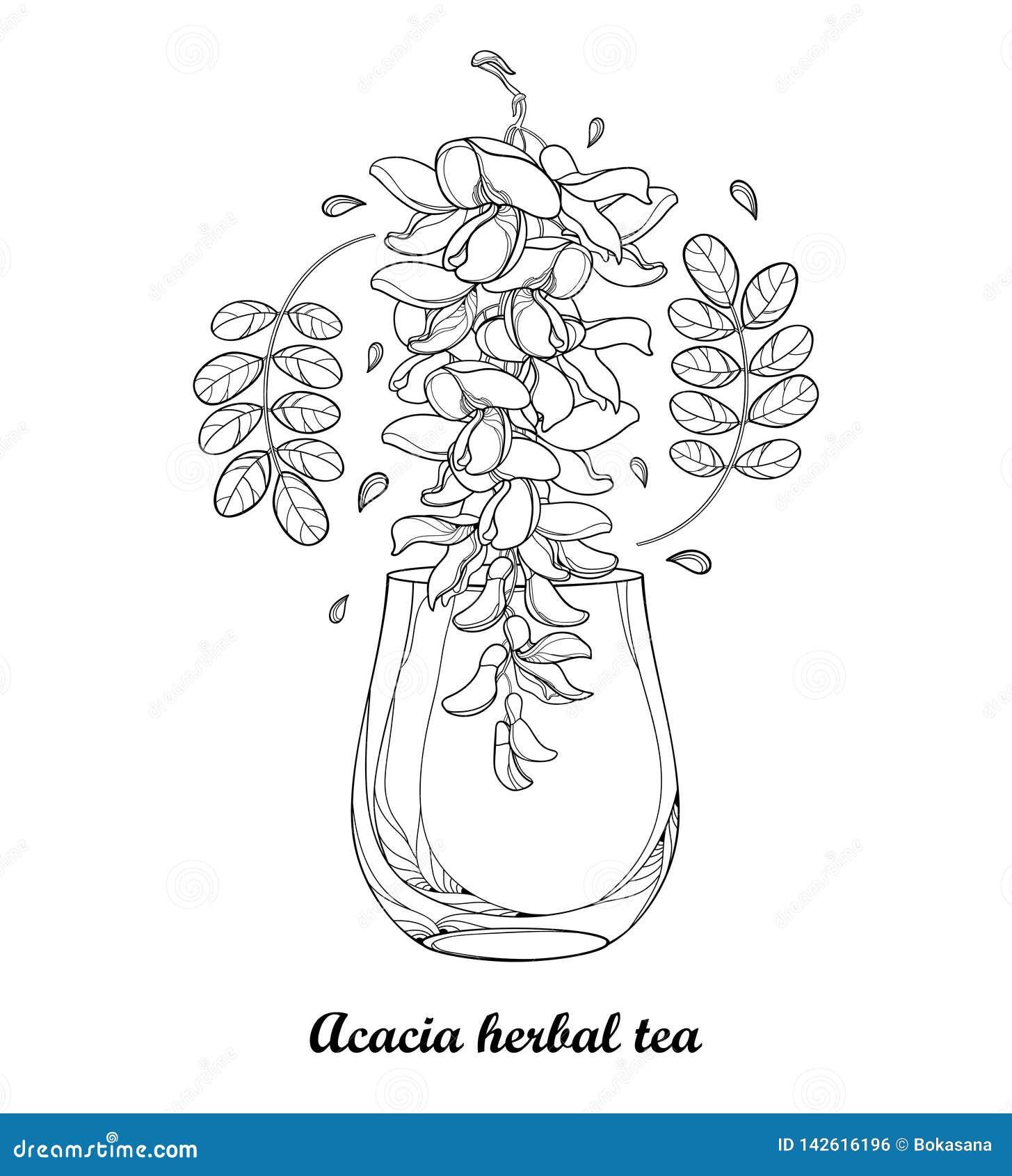 Desenho do vetor do copo da tisana da acácia falsa ou dos locustídeo pretos ou do Robinia com as folhas e a flor no preto isolada
