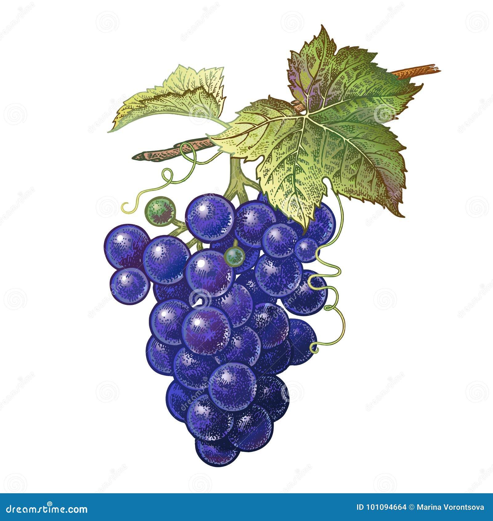 desenho realístico da uva ilustração do vetor ilustração de preto