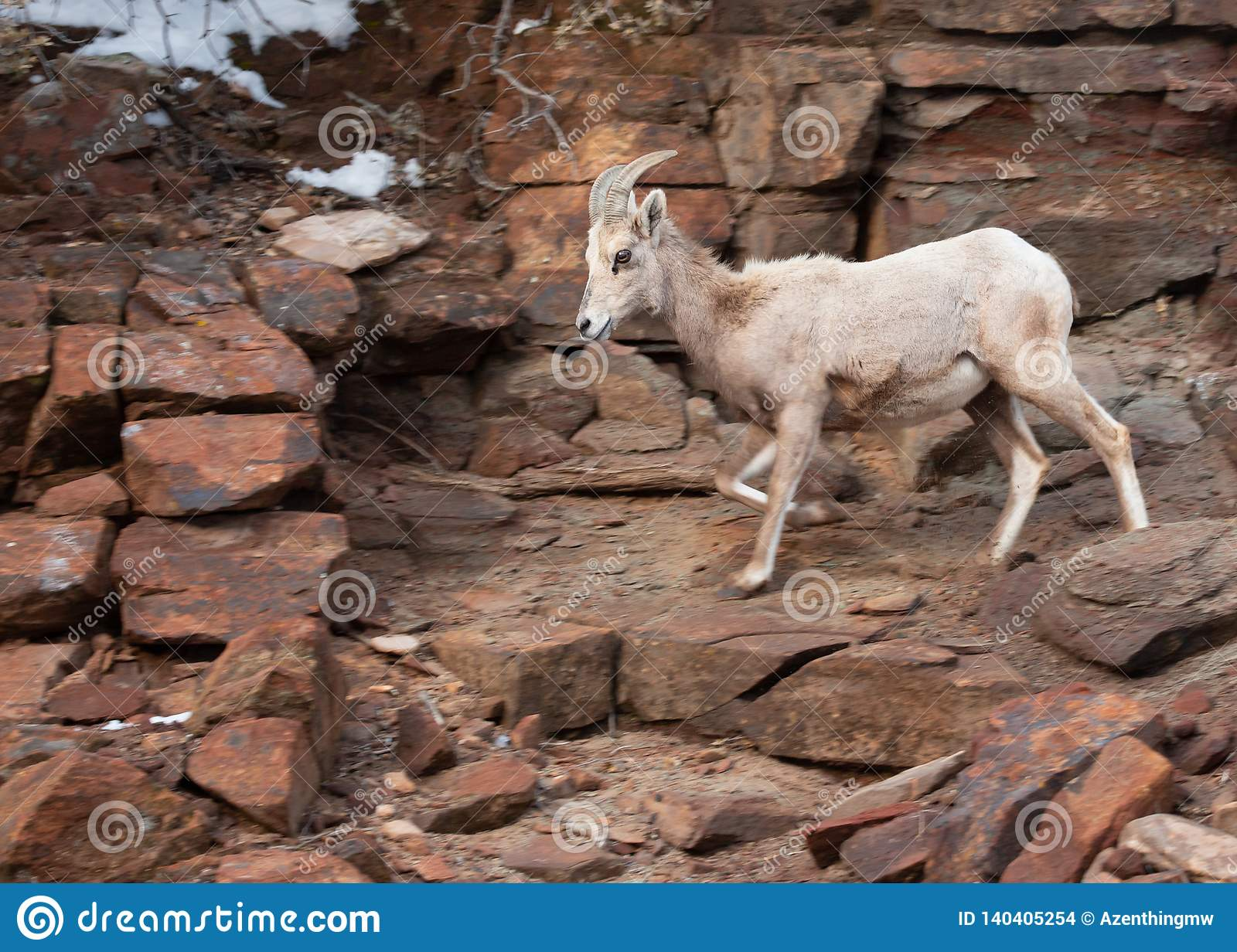 A desert big horned sheep ewe comes down from a snowy slope along a rocky trail in Zion national park Utah