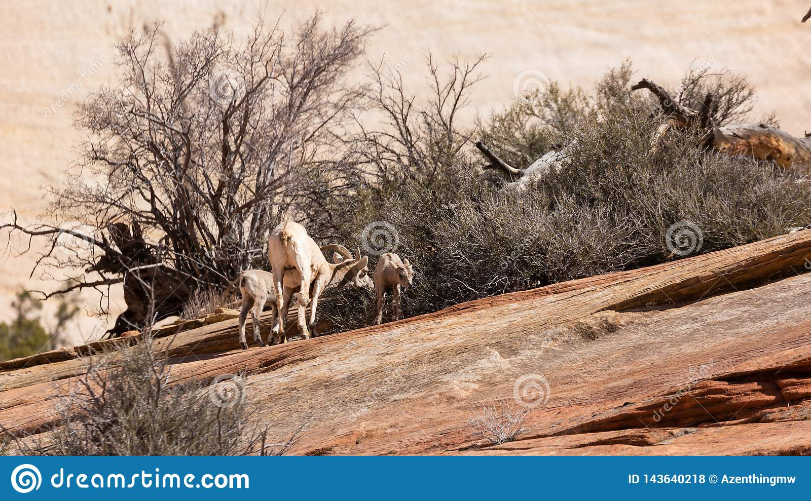 A desert big horned sheep ewe and her two lambs feed on a bush growing from cracks in the slickrock of Zion national park Utah