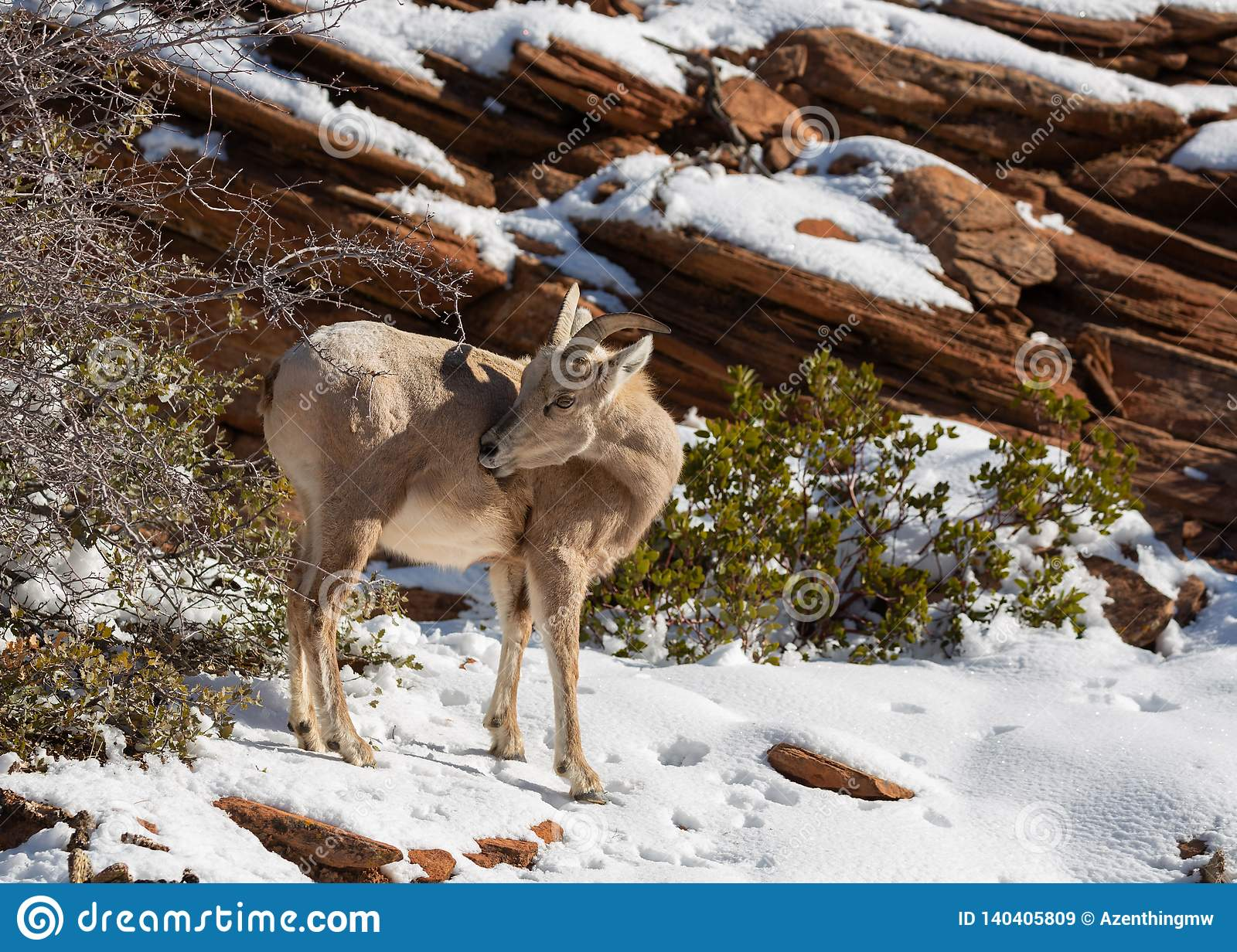 A desert big horned sheep ewe reaches back to scratch an itch on her side