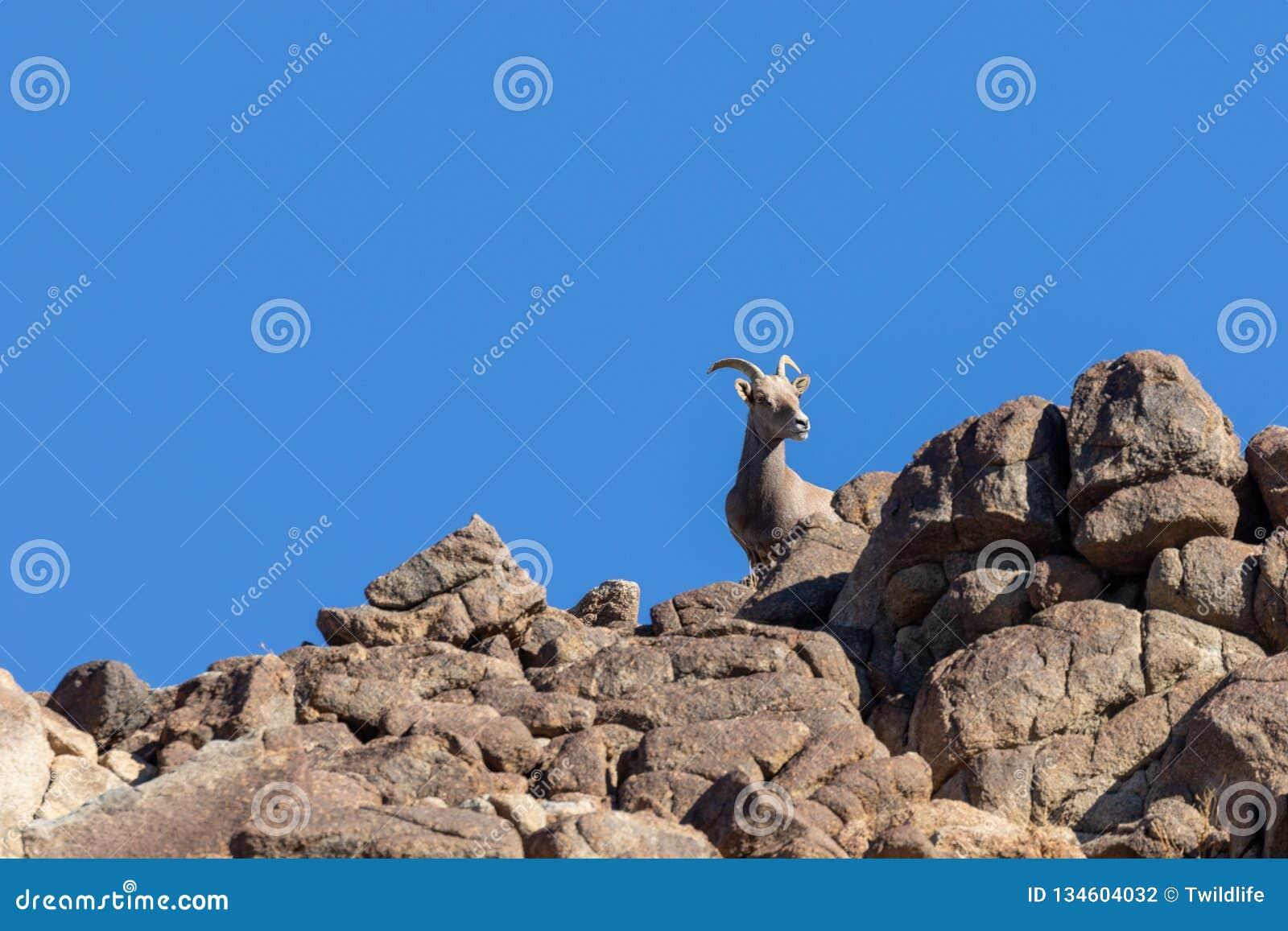 Desert bighorn Sheep Ewe on a Ridge