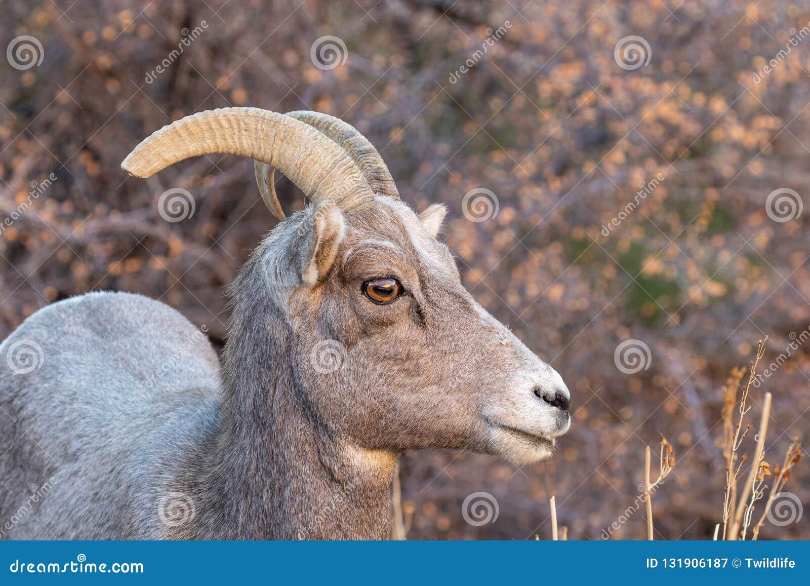 Desert Bighorn Sheep Ewe Side Portrait