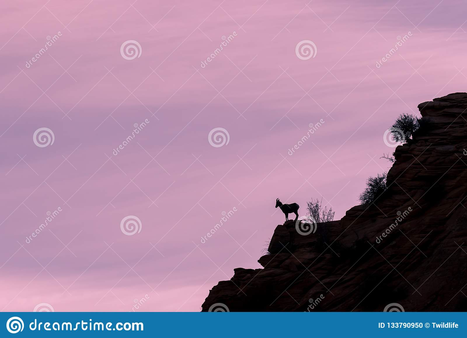 Desert Bighorn Sheep Ewe Silhouetted in the Sunrise