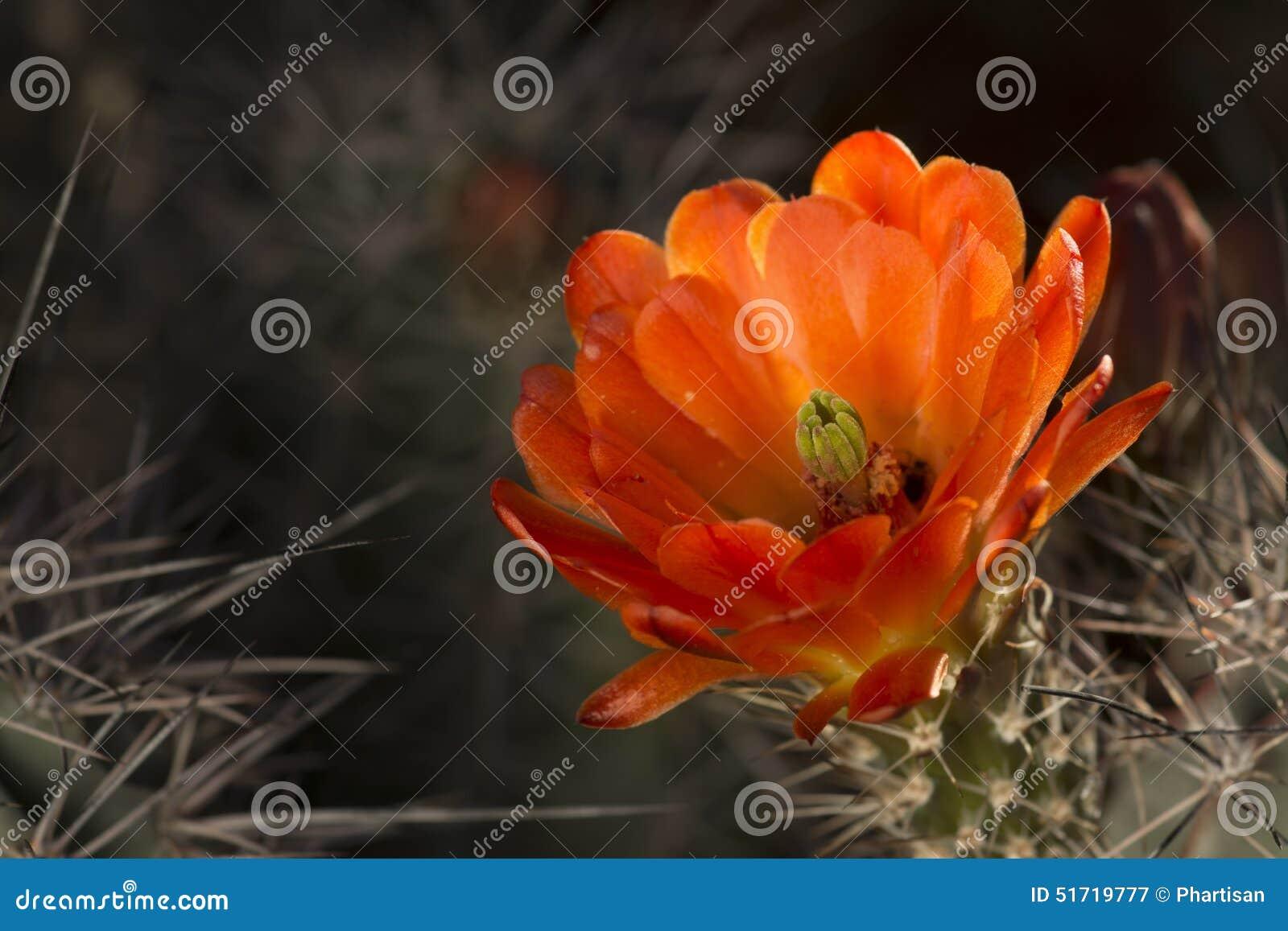 Desert cactus spring flower bloom stock image image of petals download desert cactus spring flower bloom stock image image of petals nature 51719777 mightylinksfo