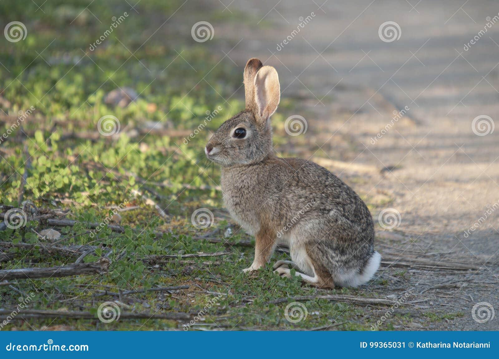 Desert Cottontail Rabbit Sylvilagus audubonii in the Meadow