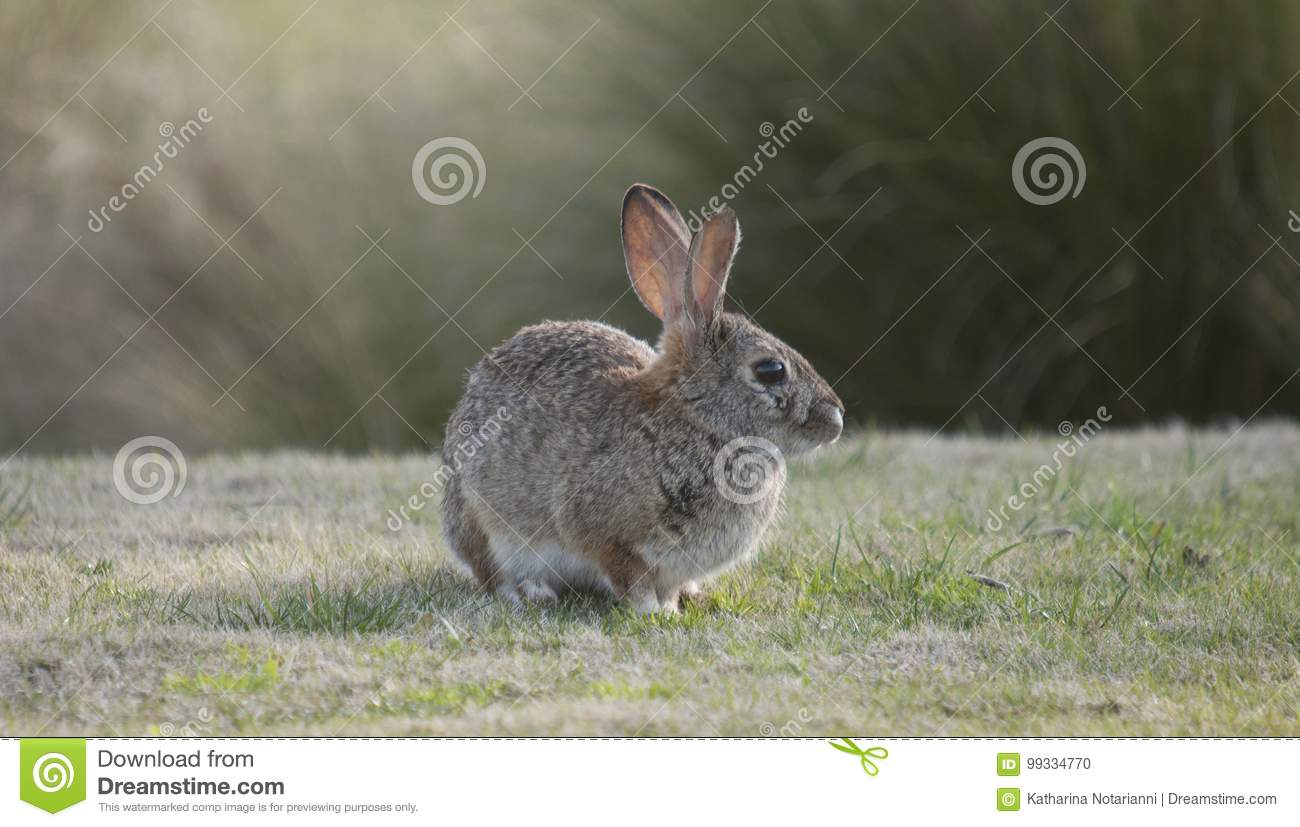 Desert Cottontail Rabbit Sylvilagus audubonii in the Meadow