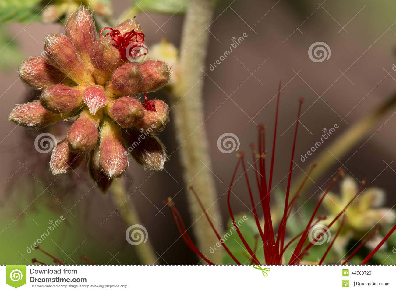 The Desert Feather Duster Flower Is Beautiful Even In The Earliest