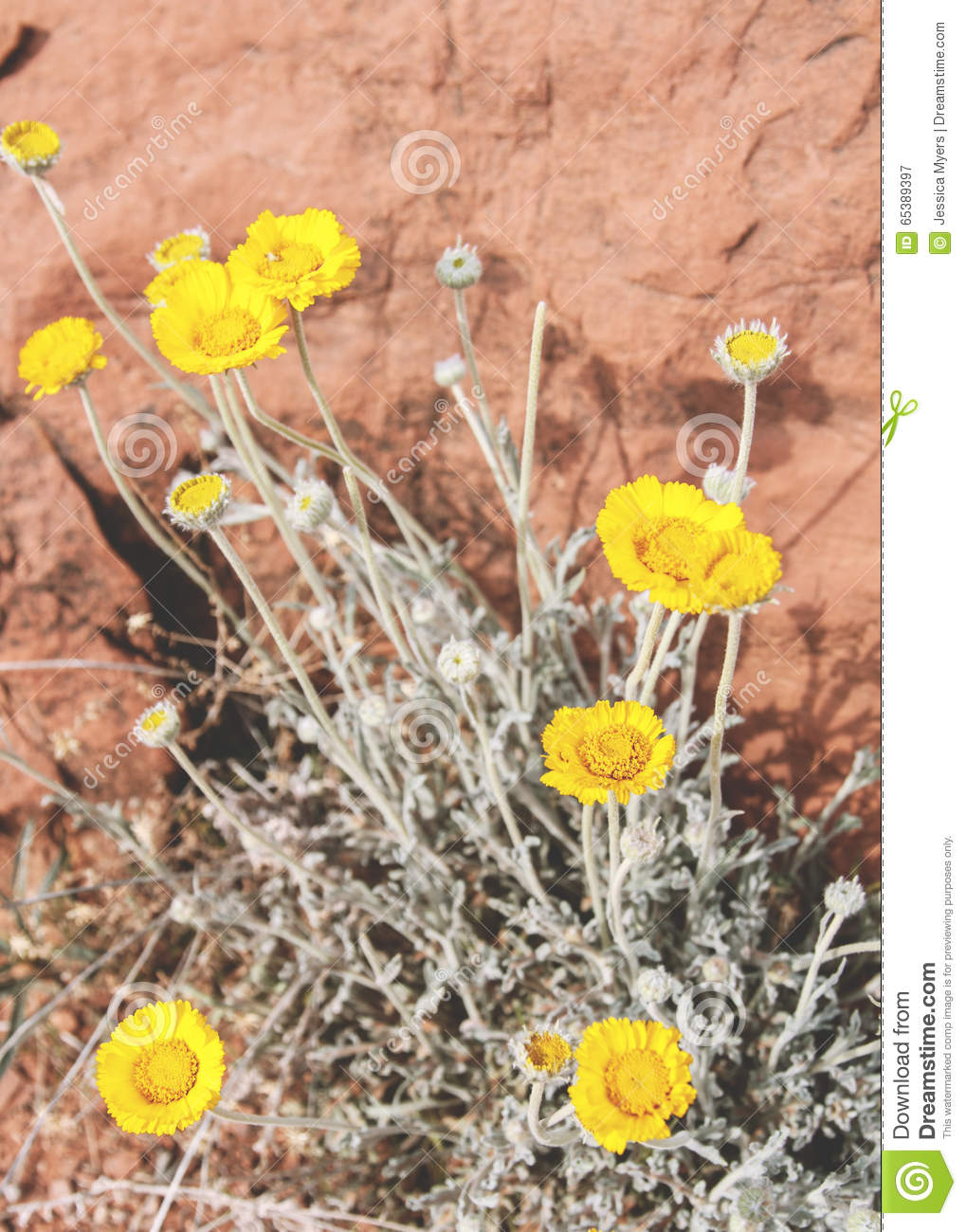 Desert Flowers Stock Image Image Of Flowers Desert 65389397