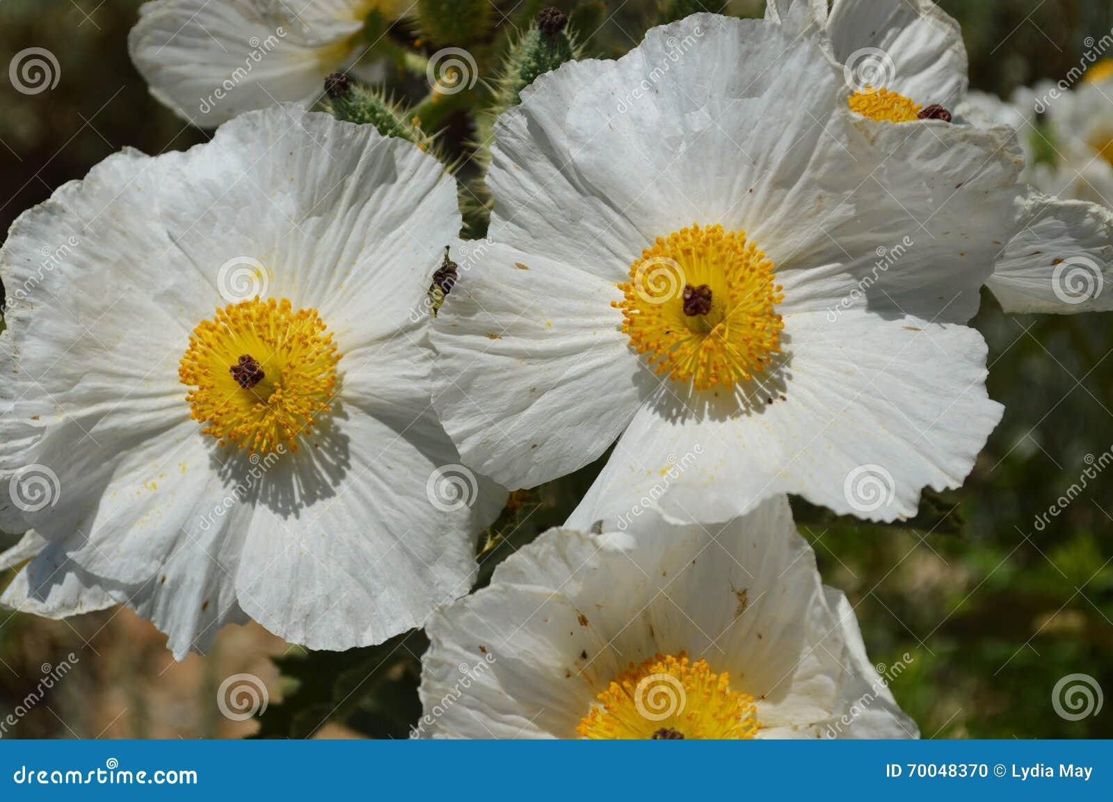 Desert Flowers Prickly Poppy Stock Photo Image Of Blossom