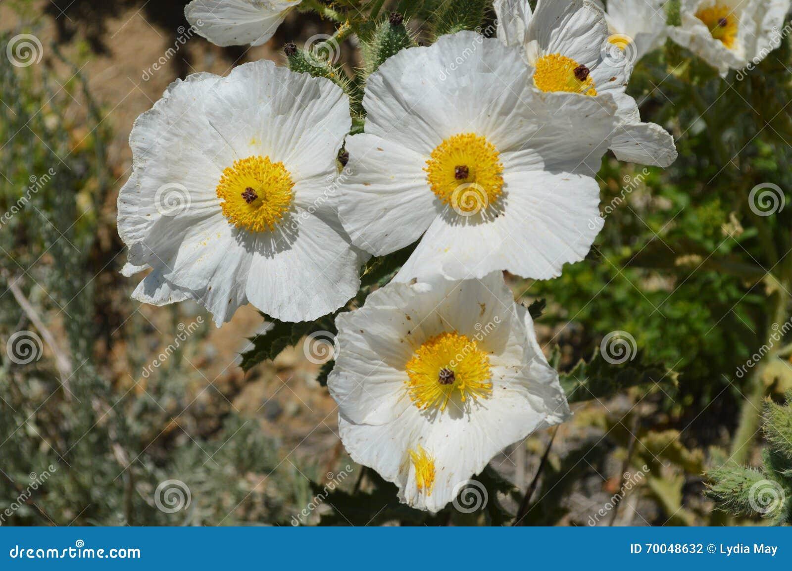 Desert Flowers Prickly Poppy Stock Photo Image Of Black White