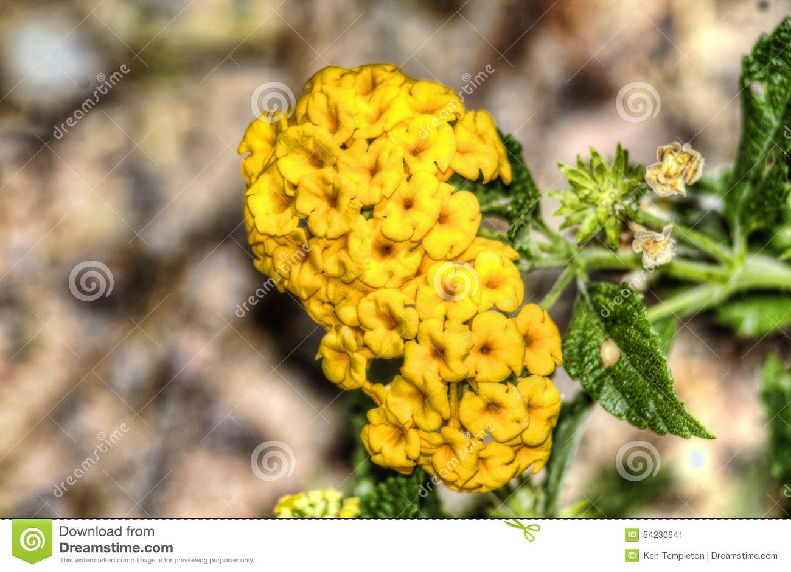 desert flowers stock photo image 54230641